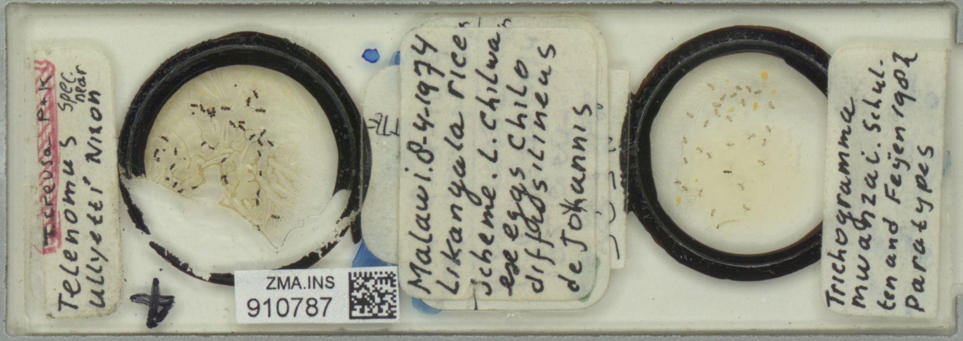 ZMA.INS.910787 | Trichogramma mwanzai Schulten & Feijen, 1982