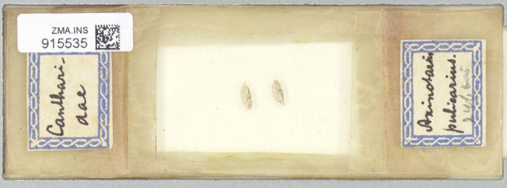 ZMA.INS.915535 | Axinotarsus pulicarius
