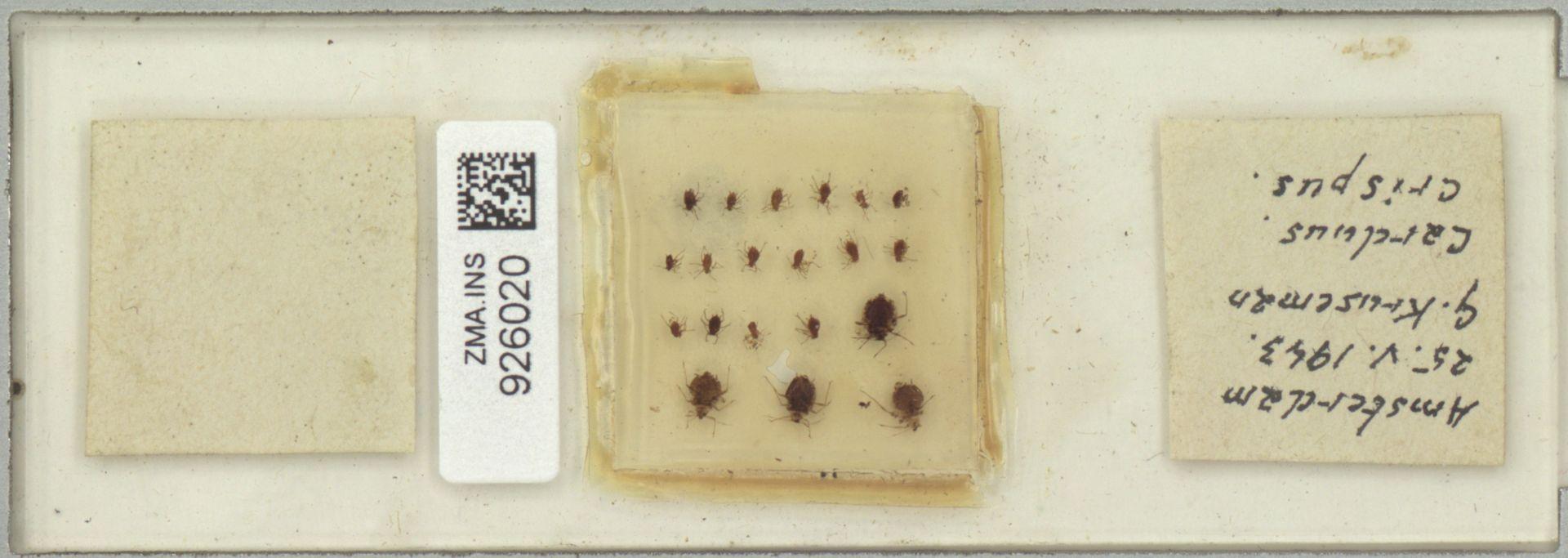 ZMA.INS.926020 | Carduus crispus
