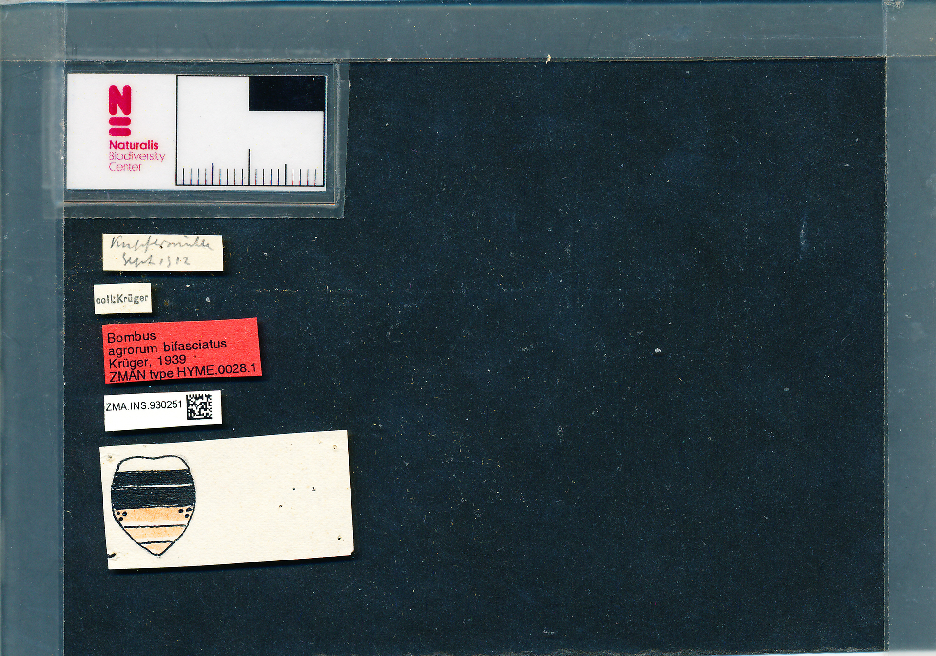 ZMA.INS.930251 | Bombus (Typicus) bifasciatus Fabr.