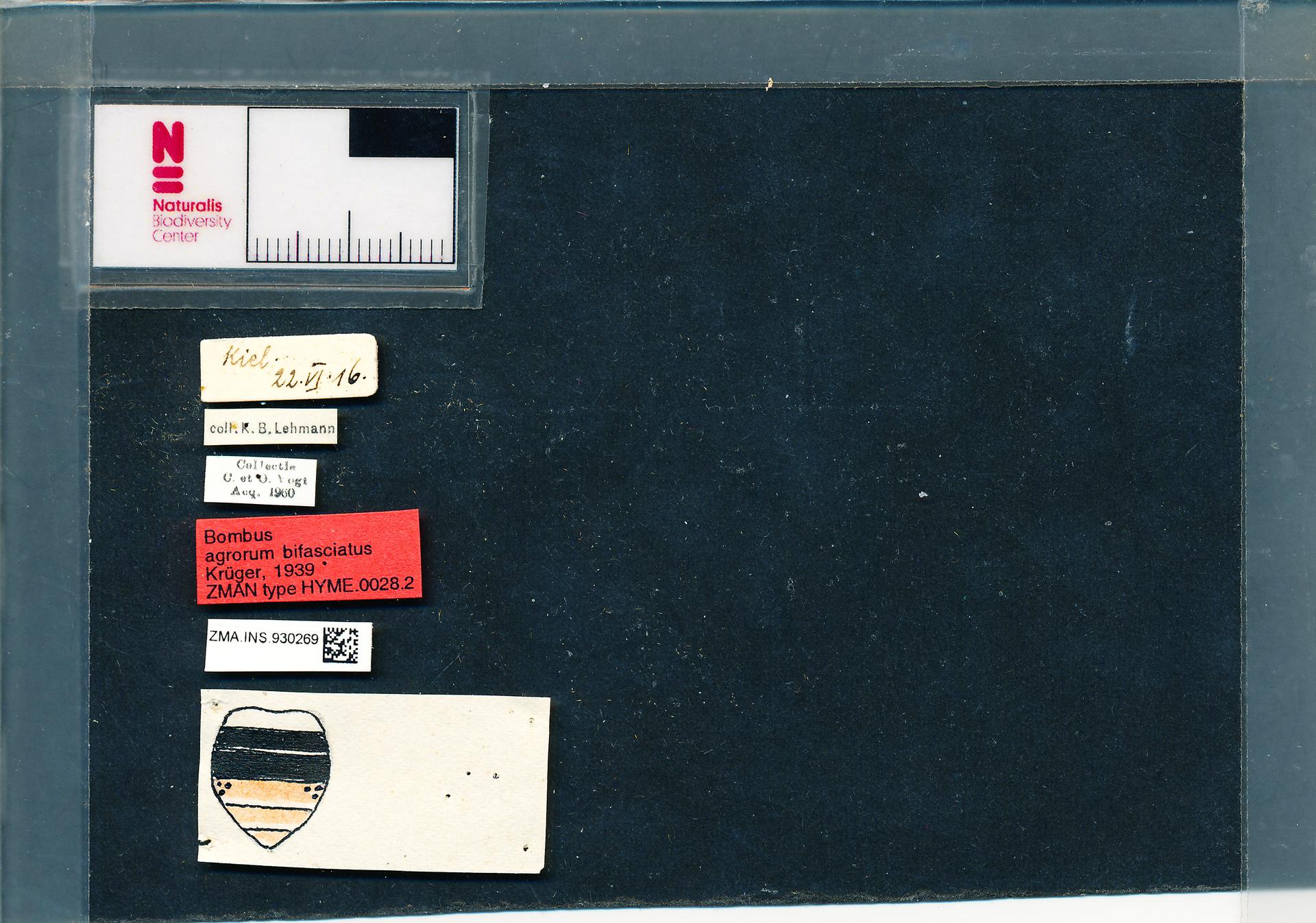 ZMA.INS.930269 | Bombus (Typicus) bifasciatus Fabr.