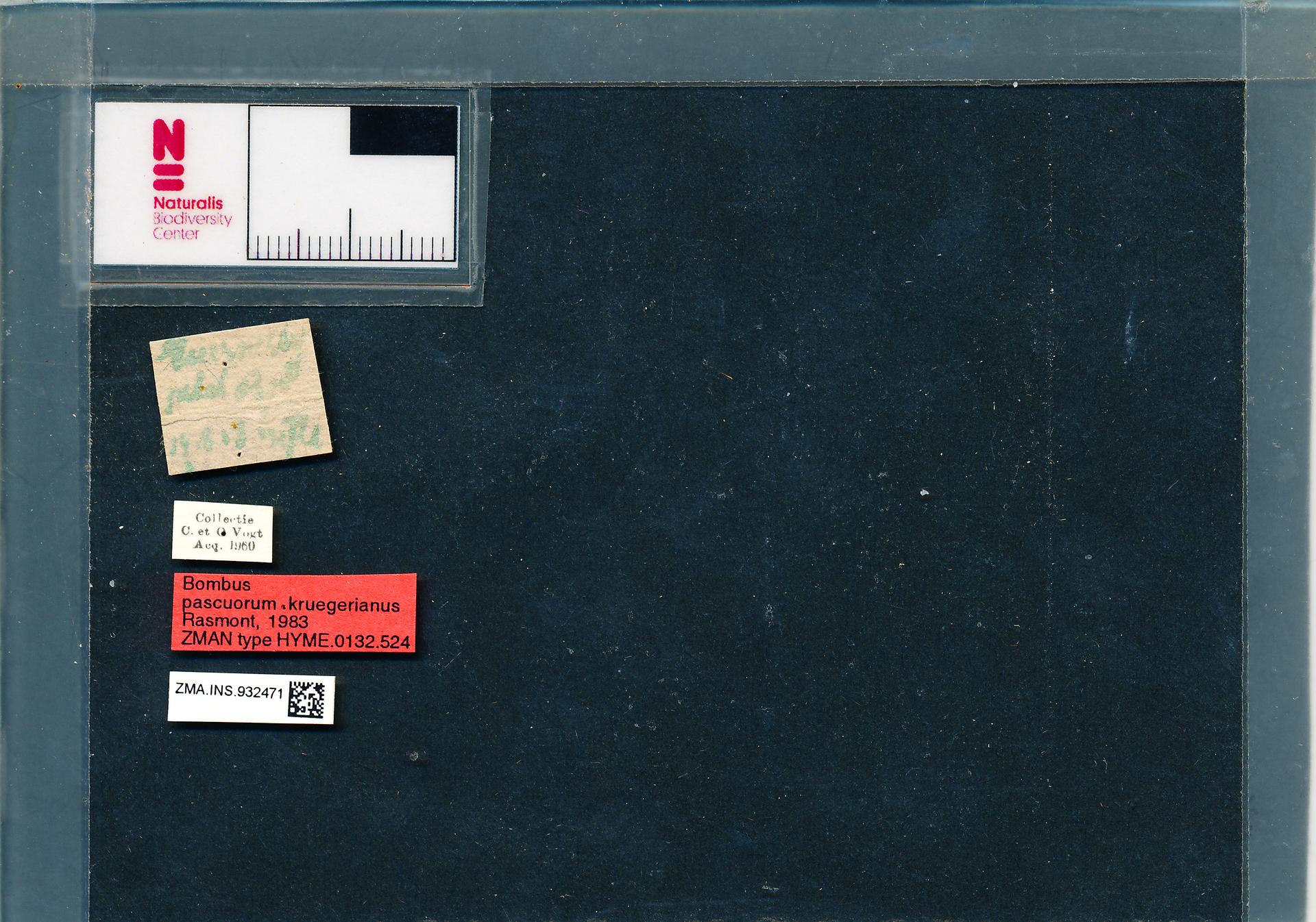 ZMA.INS.932471 | Bombus (Thoracobombus) pascuorum kruegerianus Rasmont, 1983