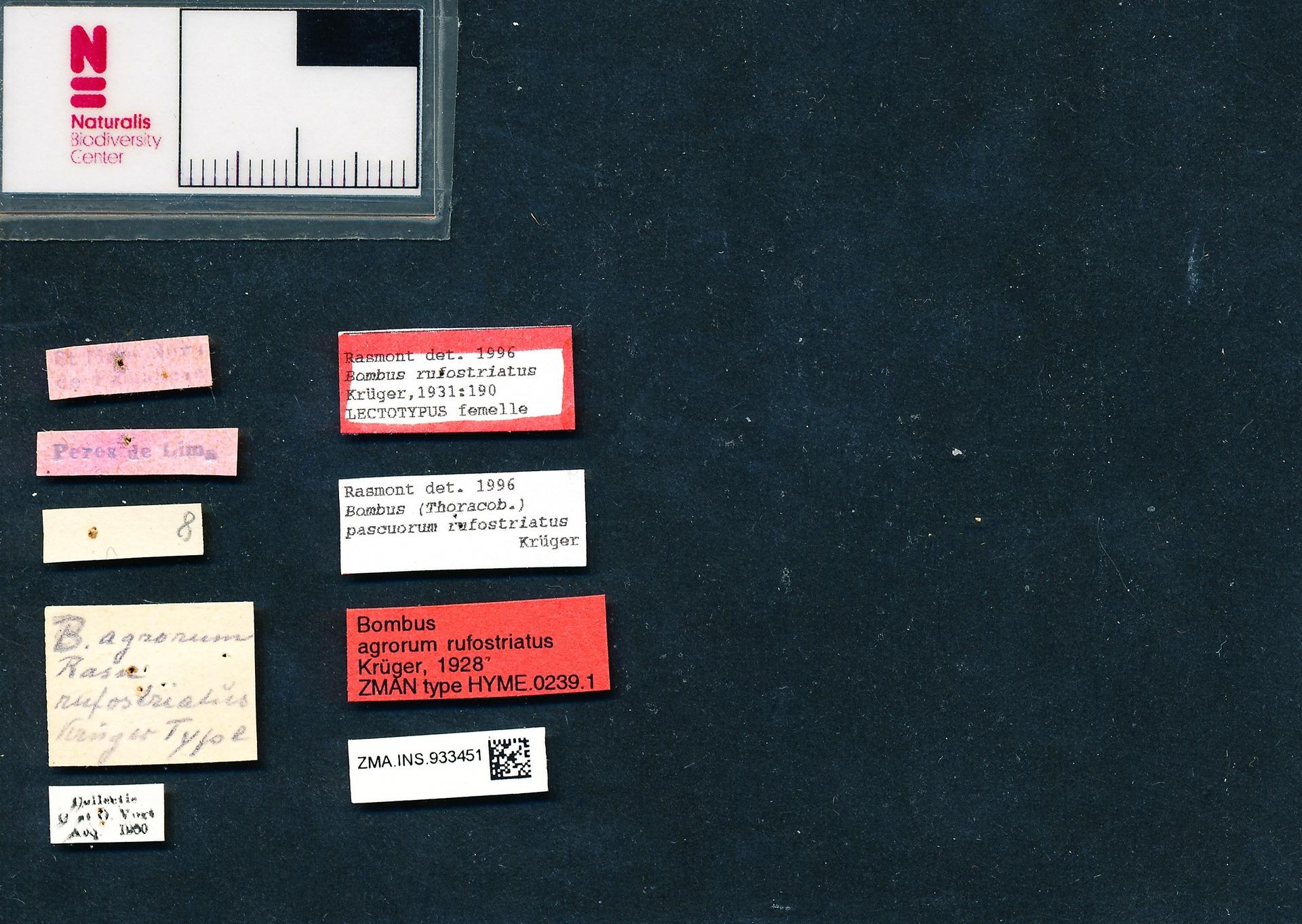 ZMA.INS.933451 | Bombus (Thoracobombus) pascuorum maculatus Krugar, 1928