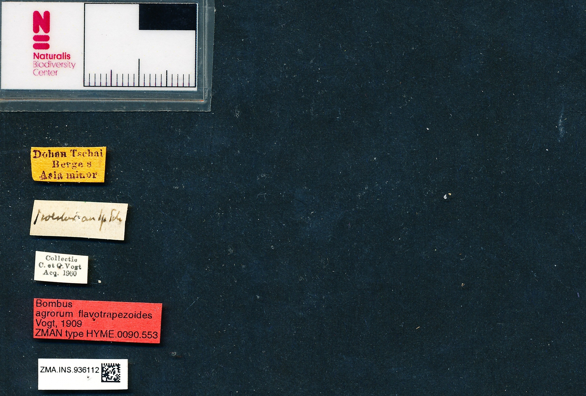 ZMA.INS.936112 | Bombus (Thoracobombus) pascuorum flavotrapezoides Vogt, 1909