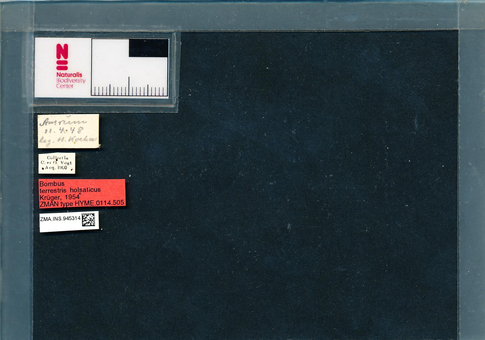 ZMA.INS.945314 | Bombus (Bombus s.s.) terrestris terrestris s.s. Krüger, 1954
