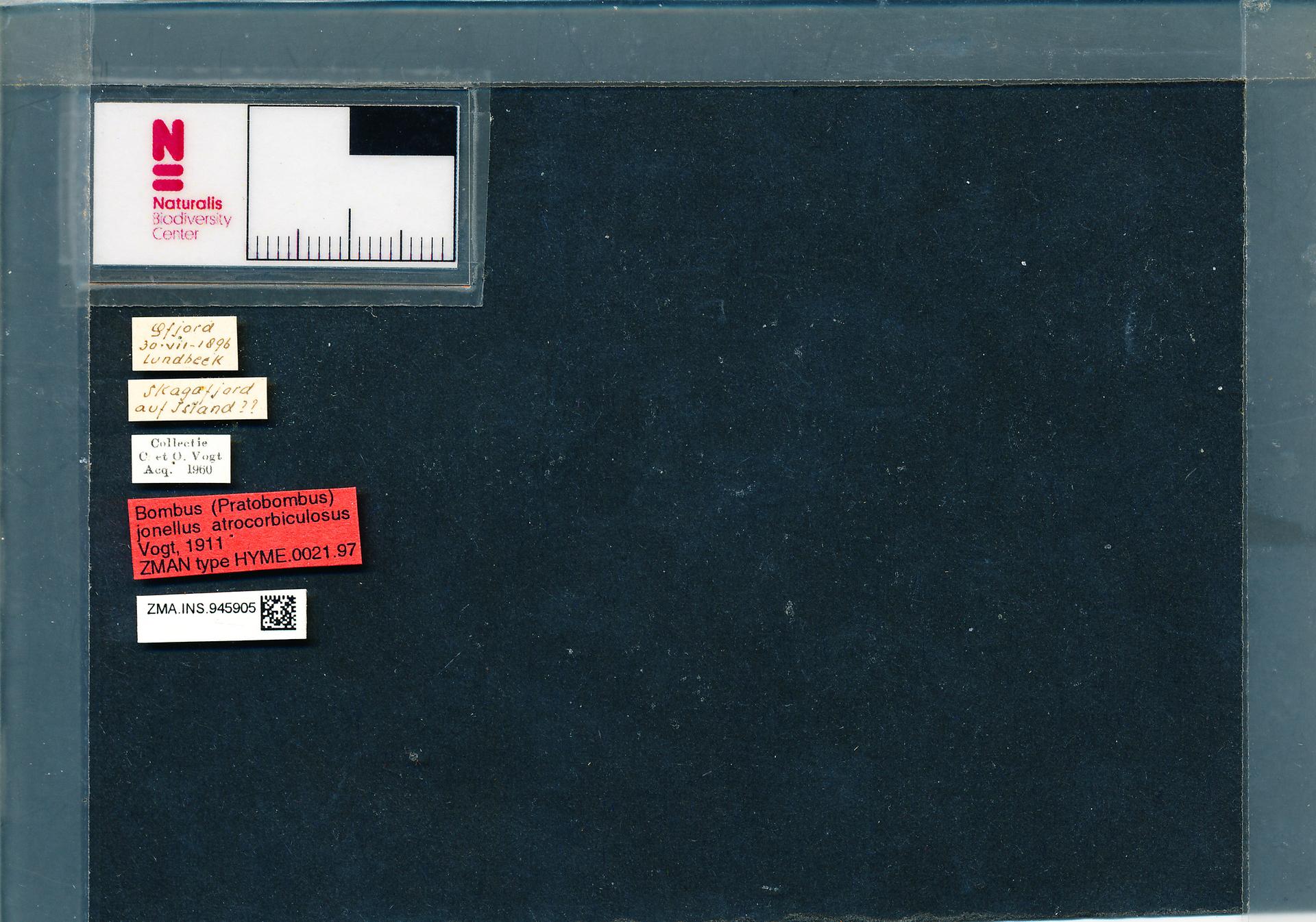 ZMA.INS.945905 | Bombus (Pyrobombus) jonellus subborealis Vogt, 1911