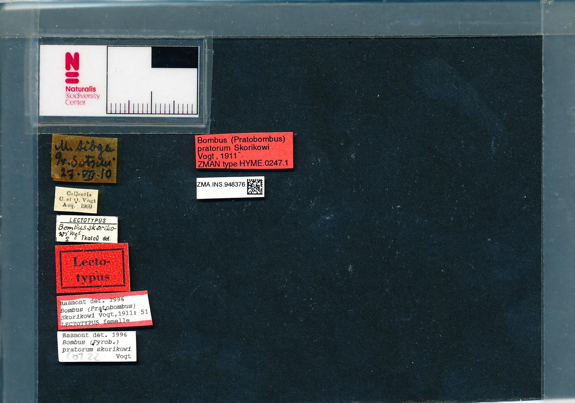 ZMA.INS.948376 | Bombus (Pyrobombus) pratorum skorikovi Vogt, 1911