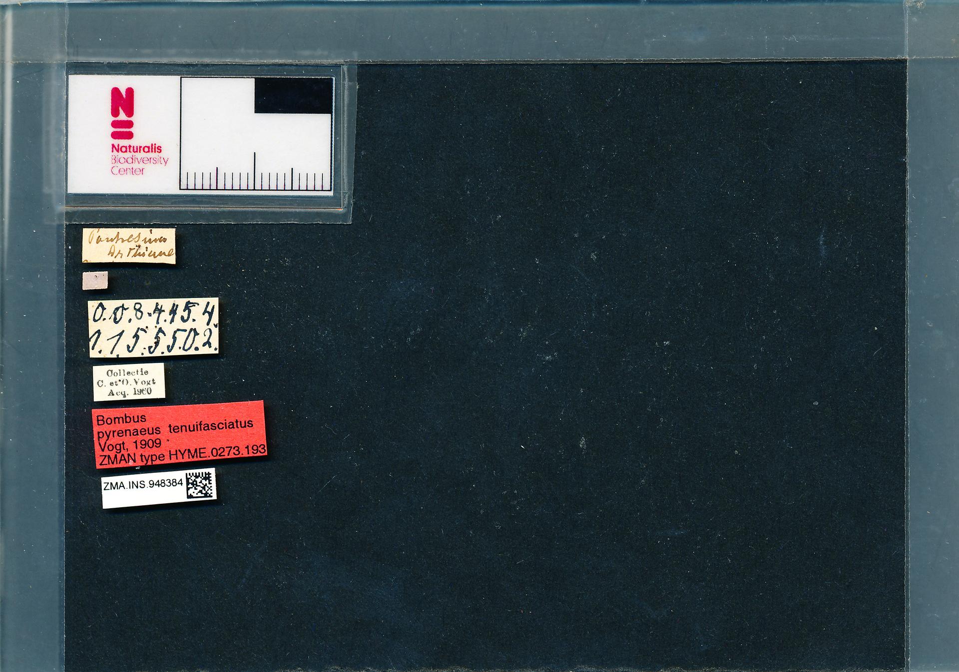 ZMA.INS.948384 | Bombus (Pyrobombus) pyrenaeus tenuifasciatus Vogt, 1909