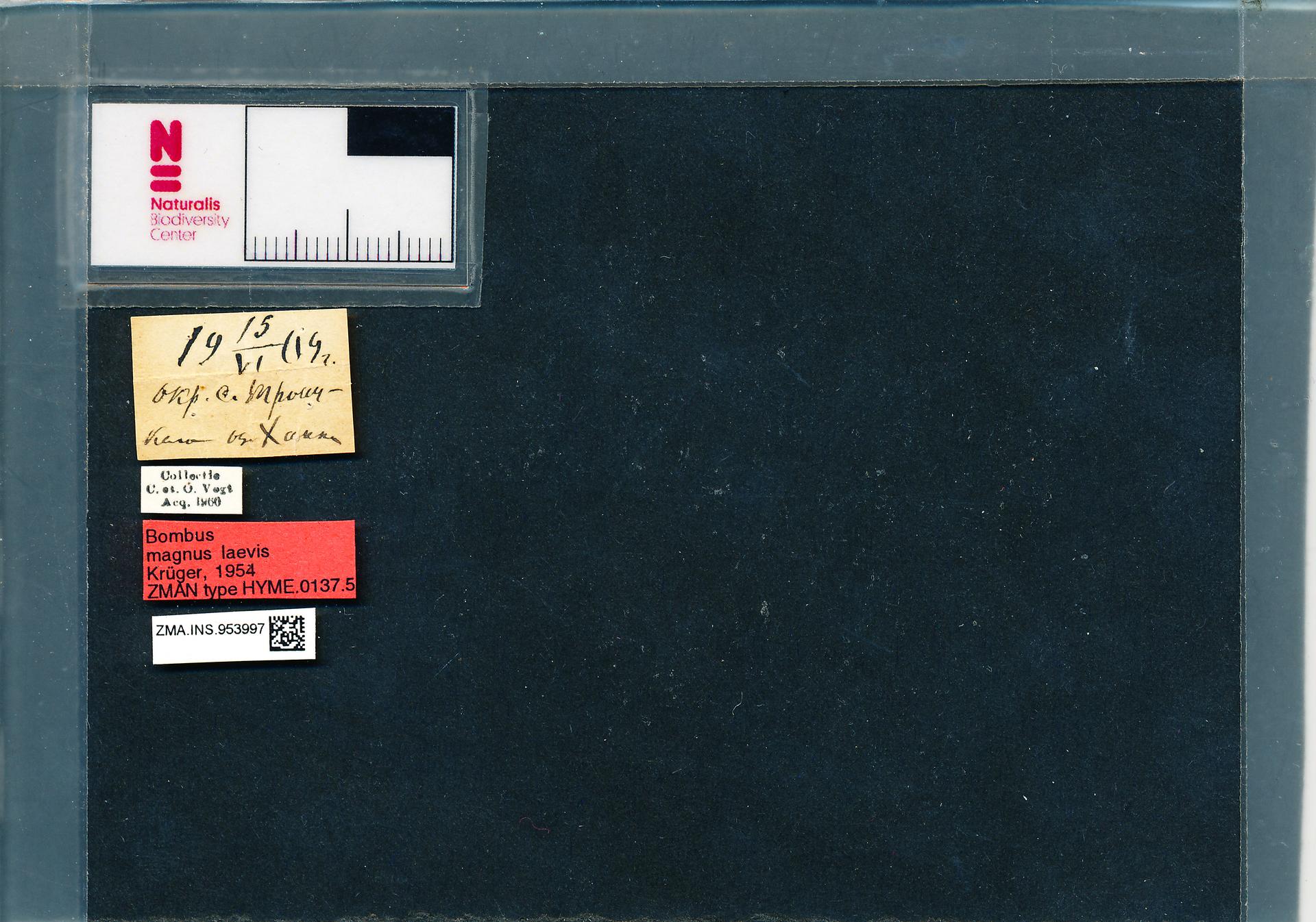 ZMA.INS.953997 | Bombus (Bombus s.s.) lucorum laevis Krüger, 1954