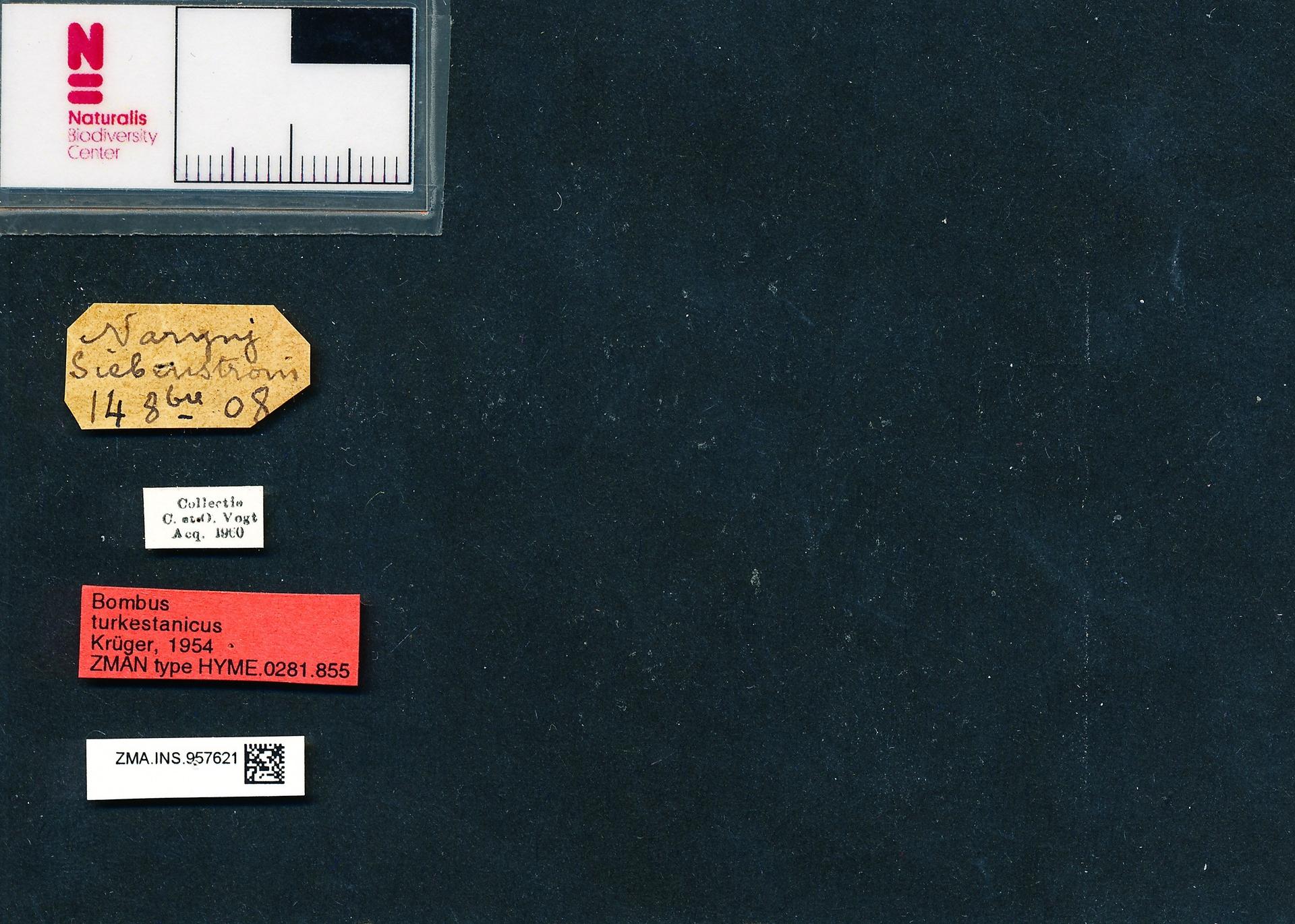 ZMA.INS.957621 | Bombus (Bombus s.s.) magnus turkestanicus Krüger, 1954
