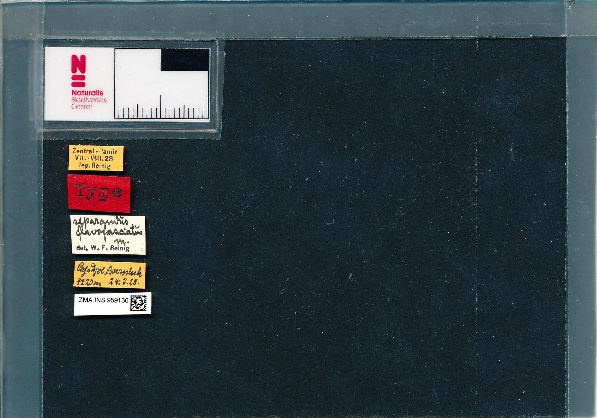 ZMA.INS.959136 | Bombus (Melanobombus) separandus flavofasciatus Reinig, ?