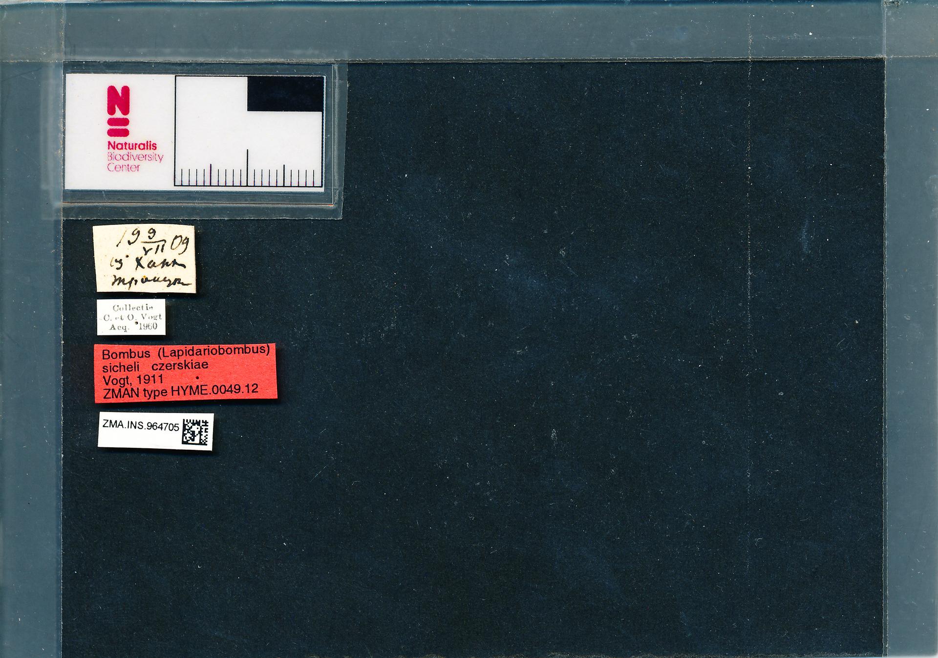 ZMA.INS.964705 | Bombus (Melanobombus) sichelii uniens Vogt, 1911