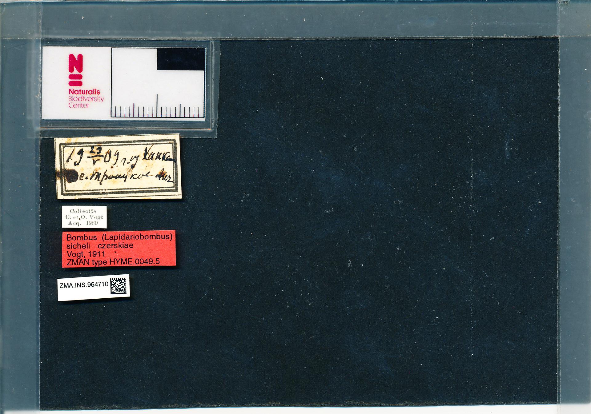 ZMA.INS.964710 | Bombus (Melanobombus) sichelii uniens Vogt, 1911