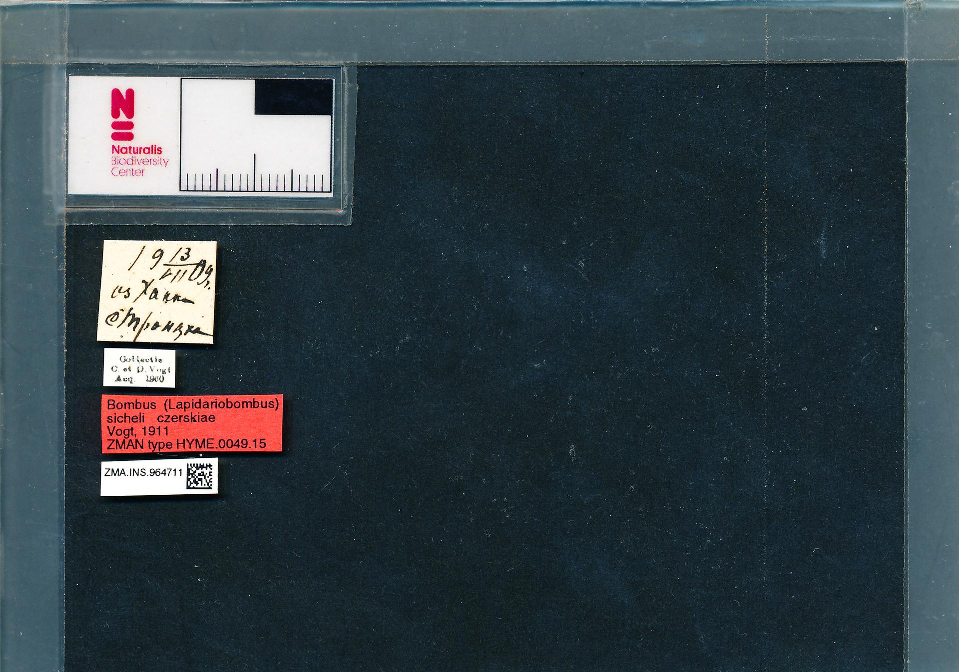 ZMA.INS.964711 | Bombus (Melanobombus) sichelii uniens Vogt, 1911