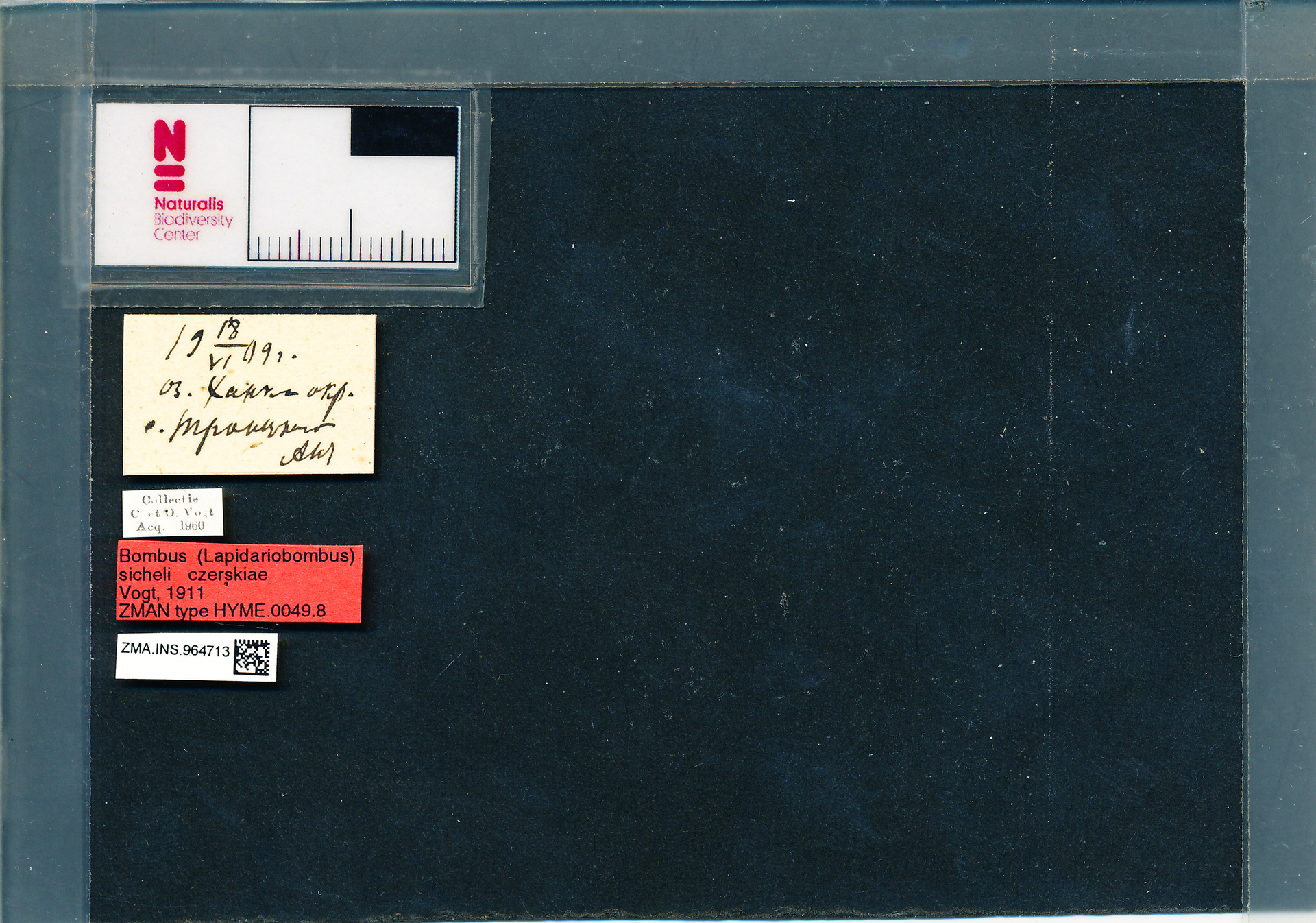 ZMA.INS.964713 | Bombus (Melanobombus) sichelii uniens Vogt, 1911
