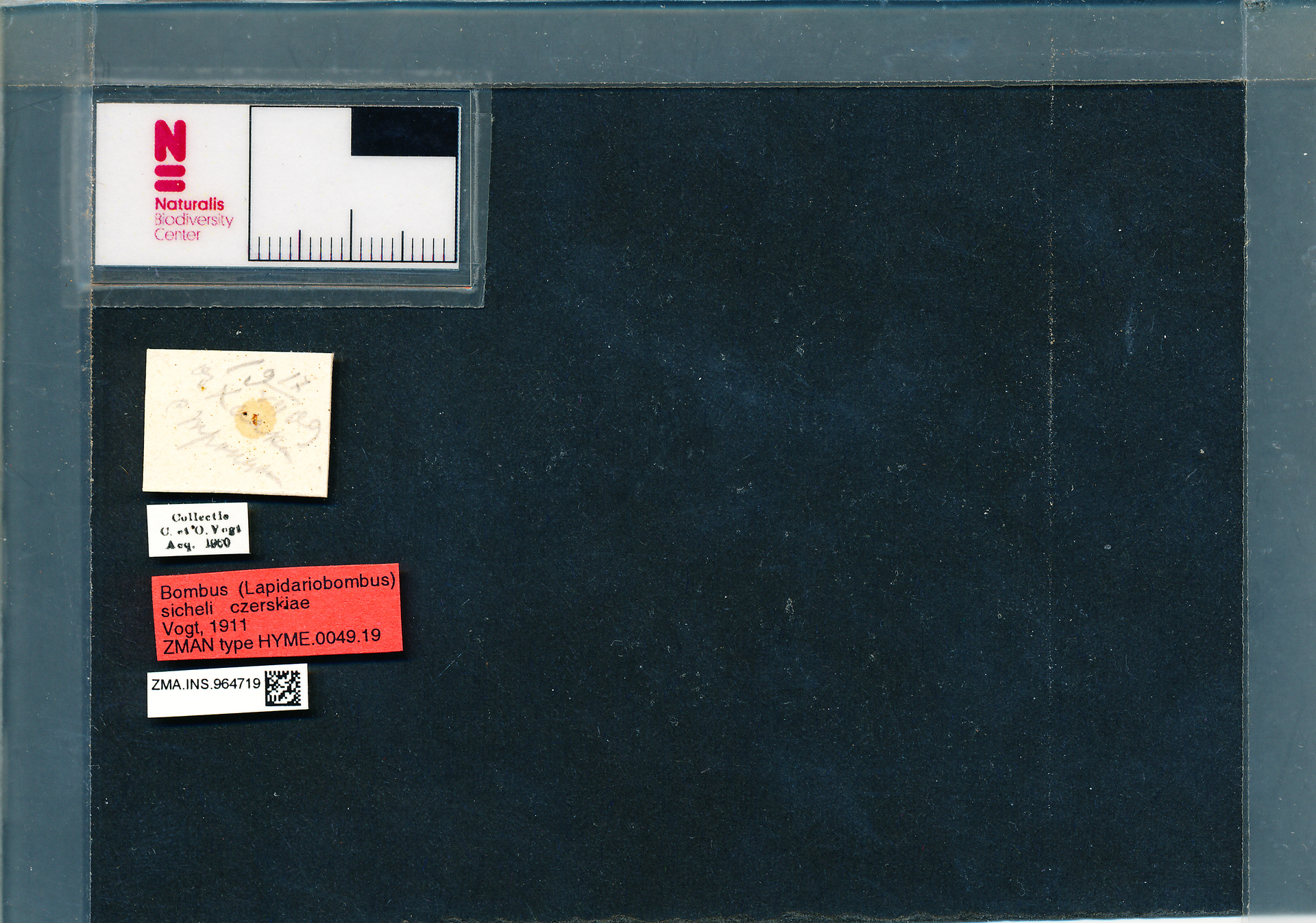 ZMA.INS.964719 | Bombus (Melanobombus) sichelii uniens Vogt, 1911