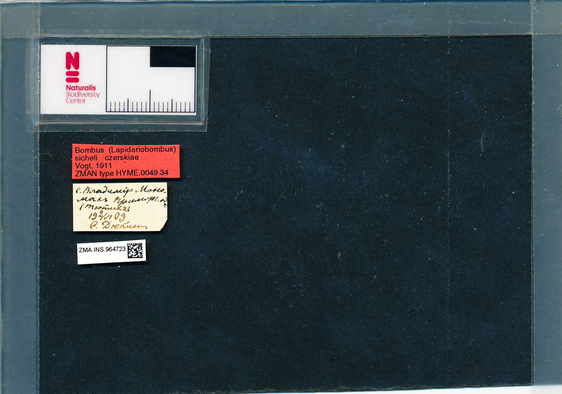 ZMA.INS.964723 | Bombus (Melanobombus) sichelii uniens Vogt, 1911