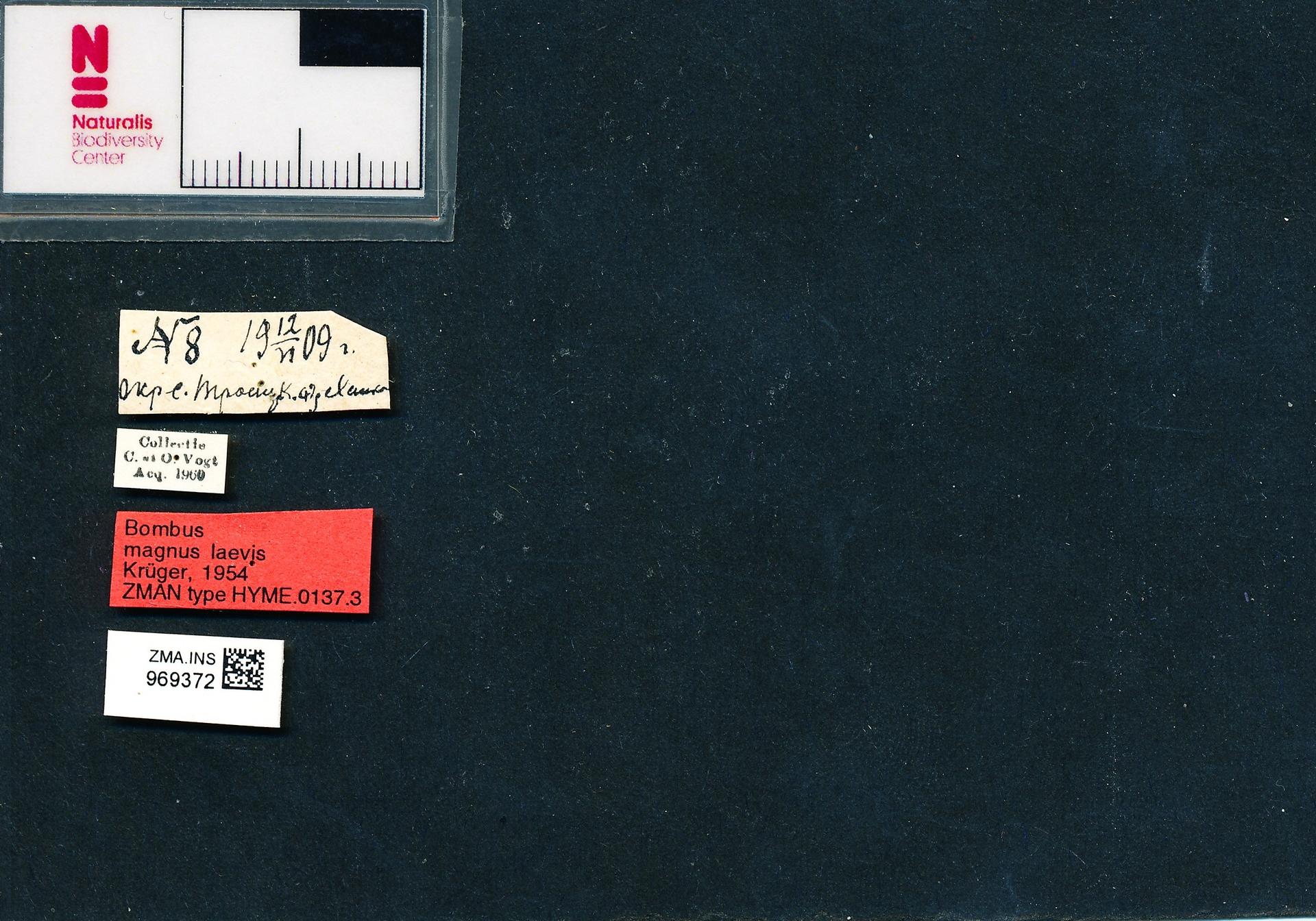 ZMA.INS.969372 | Bombus (Bombus) lucorum laevis Krüger, 1954