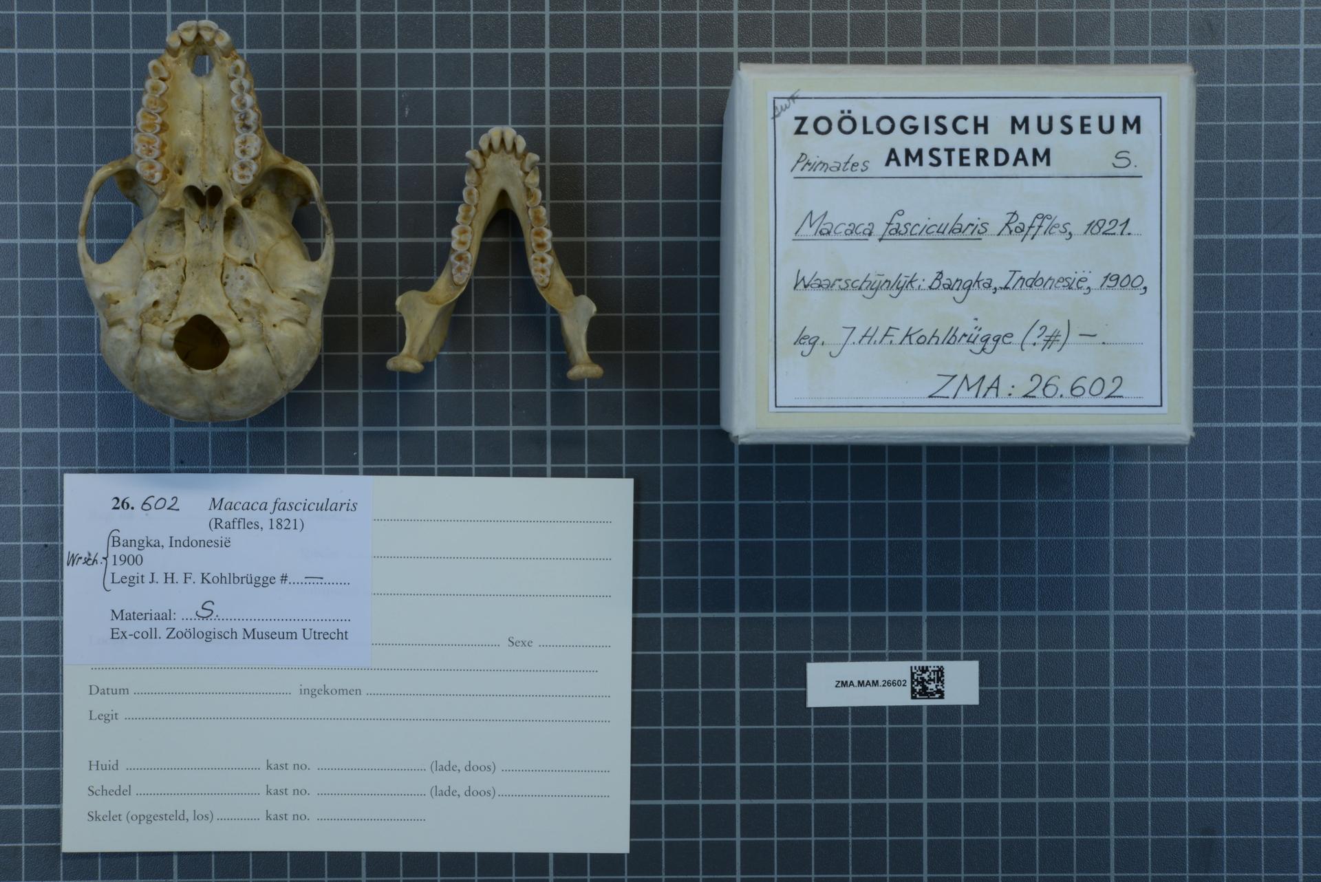 ZMA.MAM.26602 | Macaca fascicularis Raffles, 1821