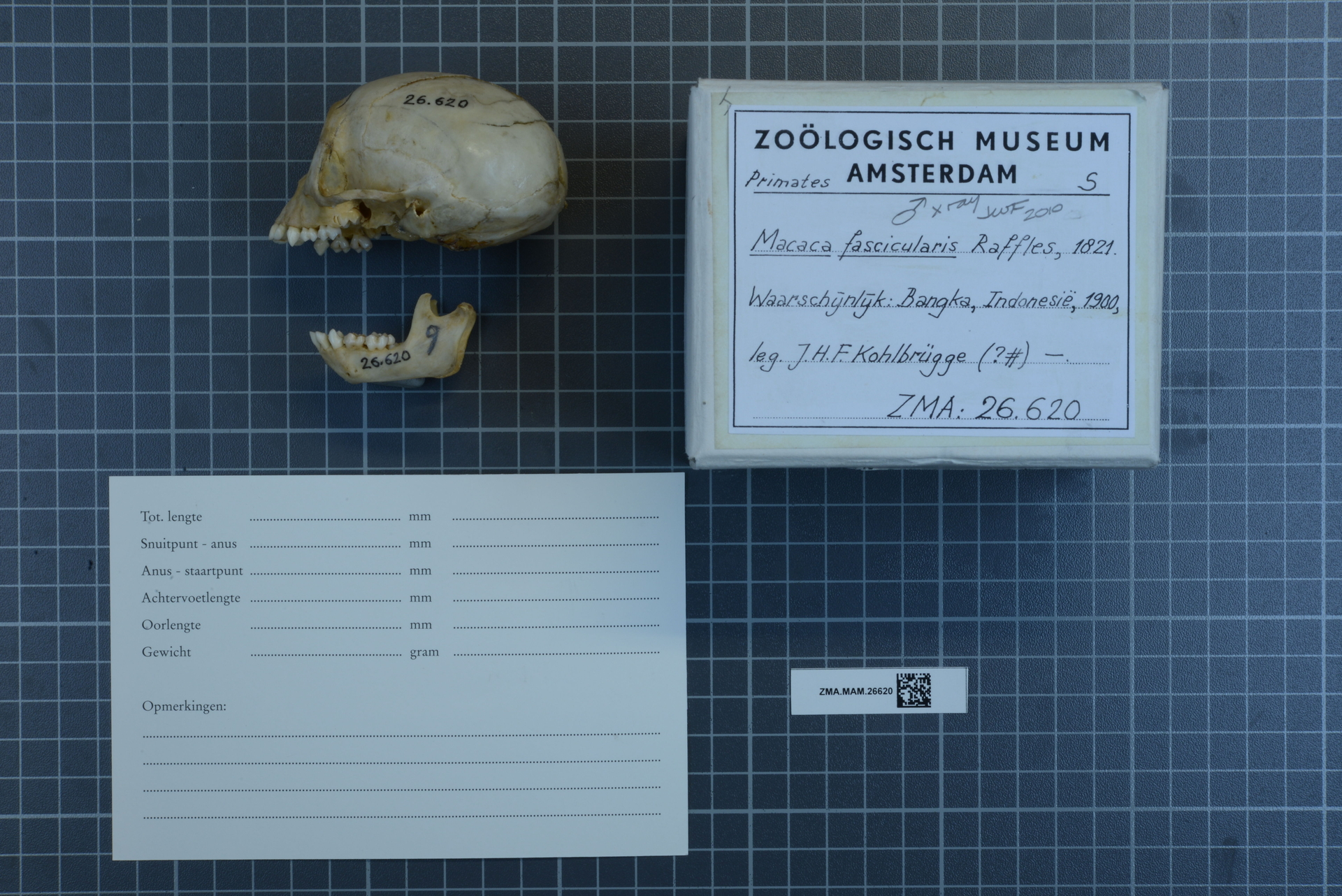 ZMA.MAM.26620 | Macaca fascicularis Raffles, 1821