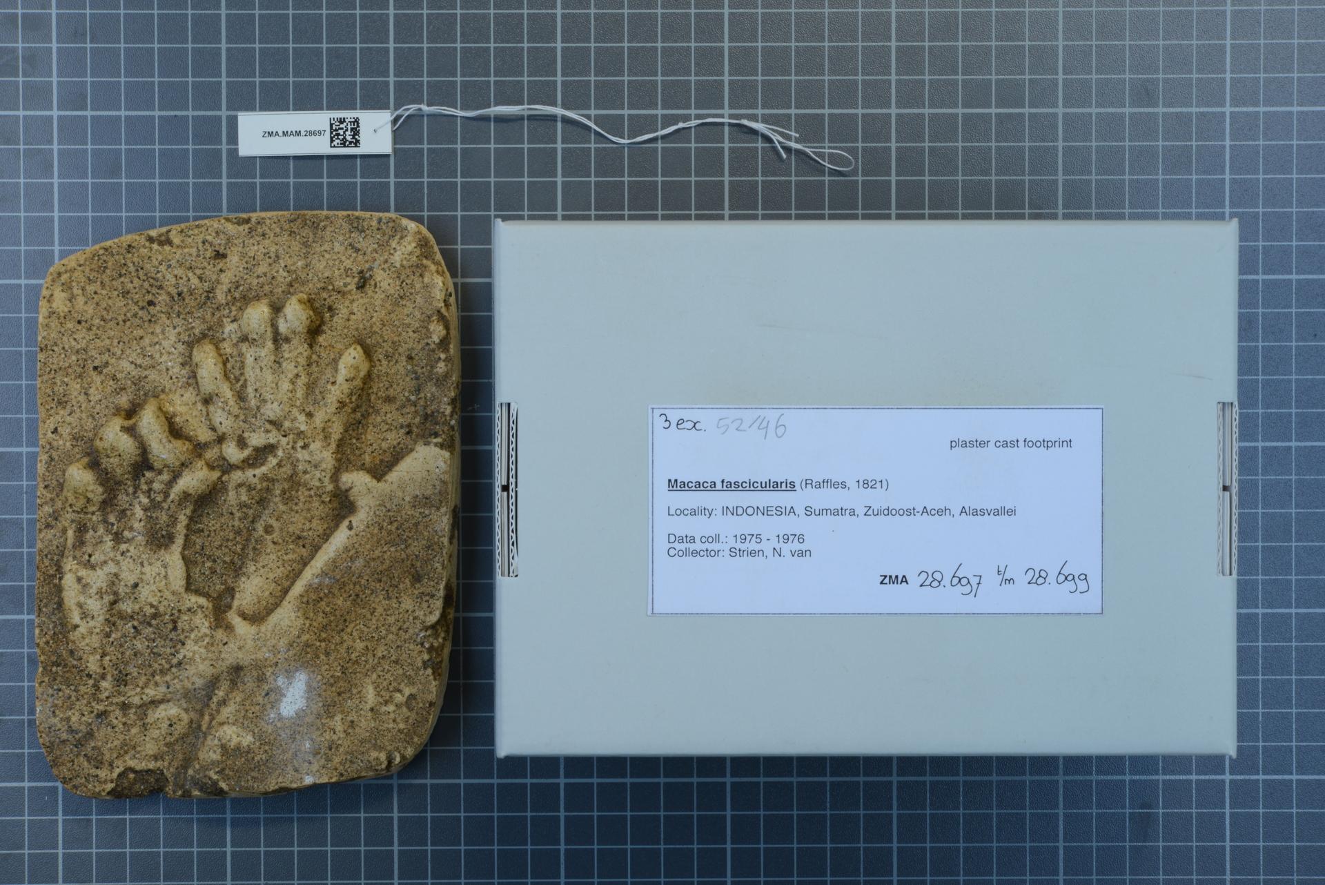 ZMA.MAM.28697 | Macaca fascicularis (Raffles, 1821)