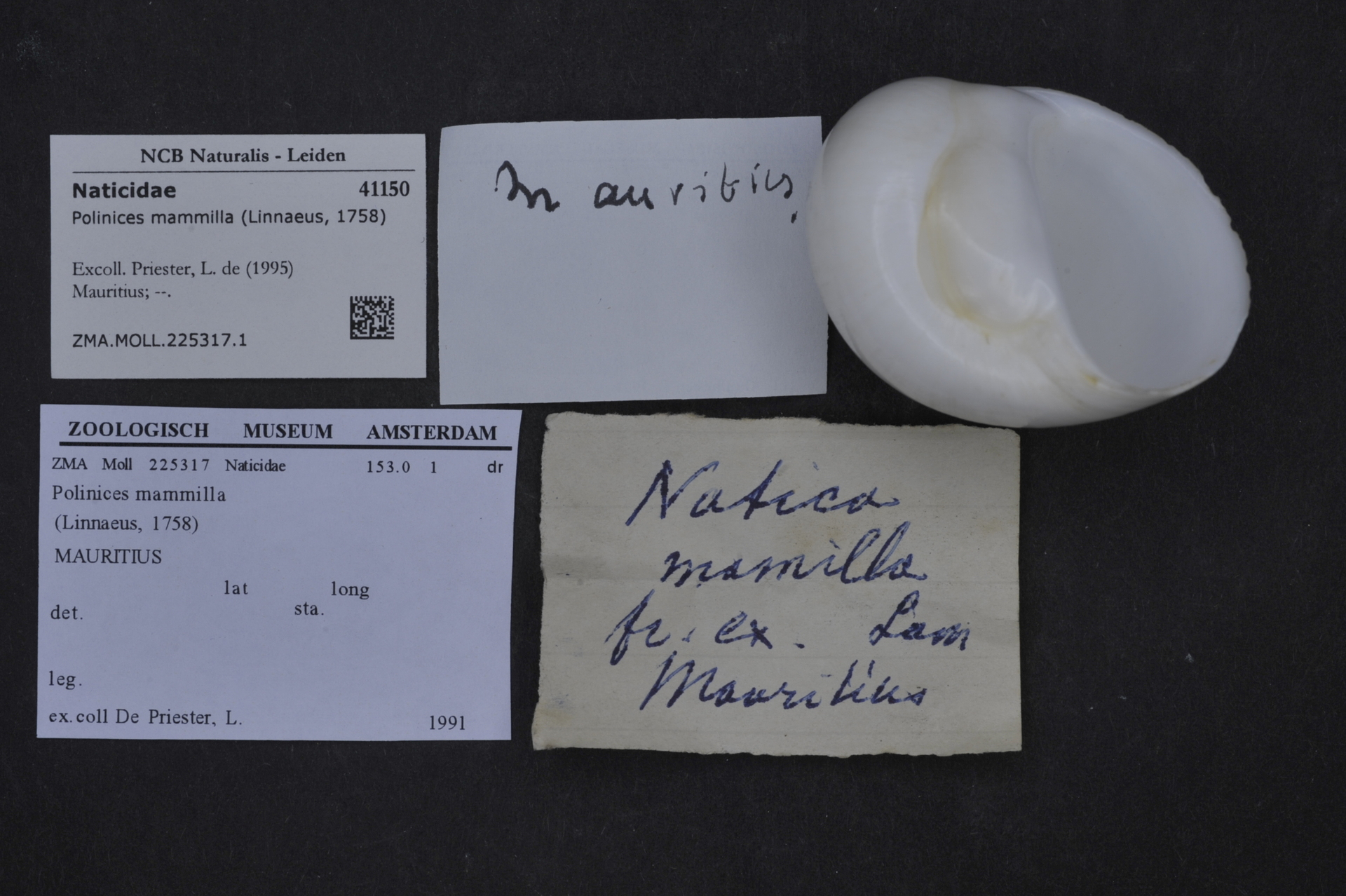 ZMA.MOLL.225317.1 | Polinices mammilla (Linnaeus, 1758)