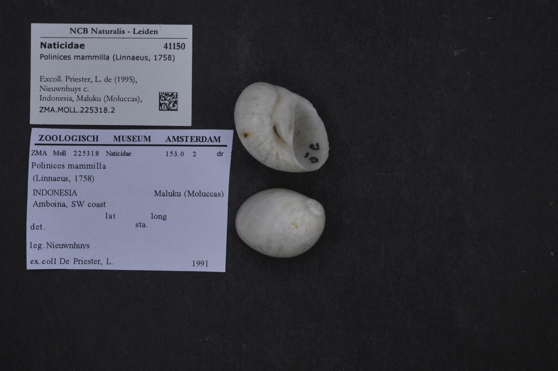 ZMA.MOLL.225318.2 | Polinices mammilla (Linnaeus, 1758)