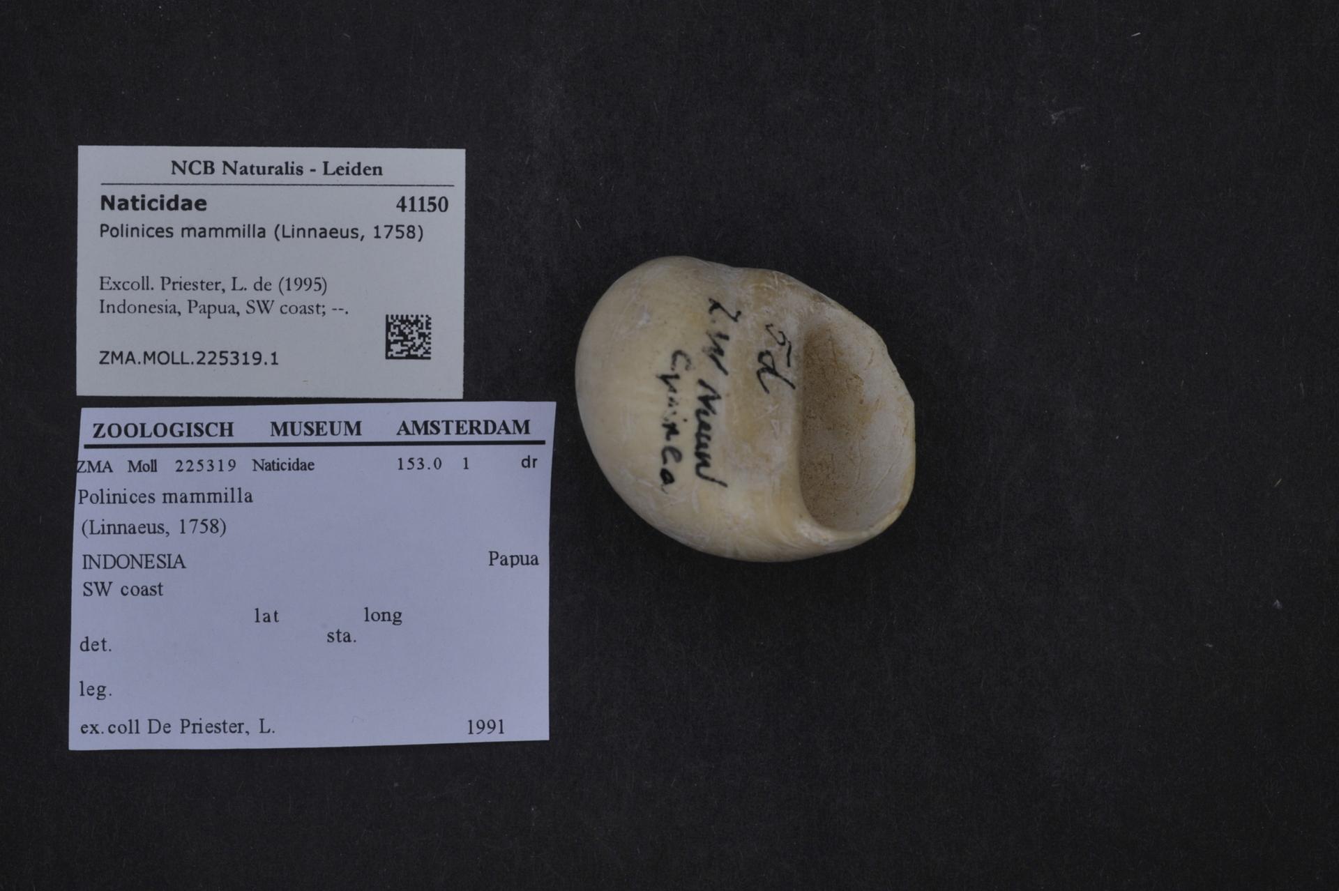 ZMA.MOLL.225319.1 | Polinices mammilla (Linnaeus, 1758)