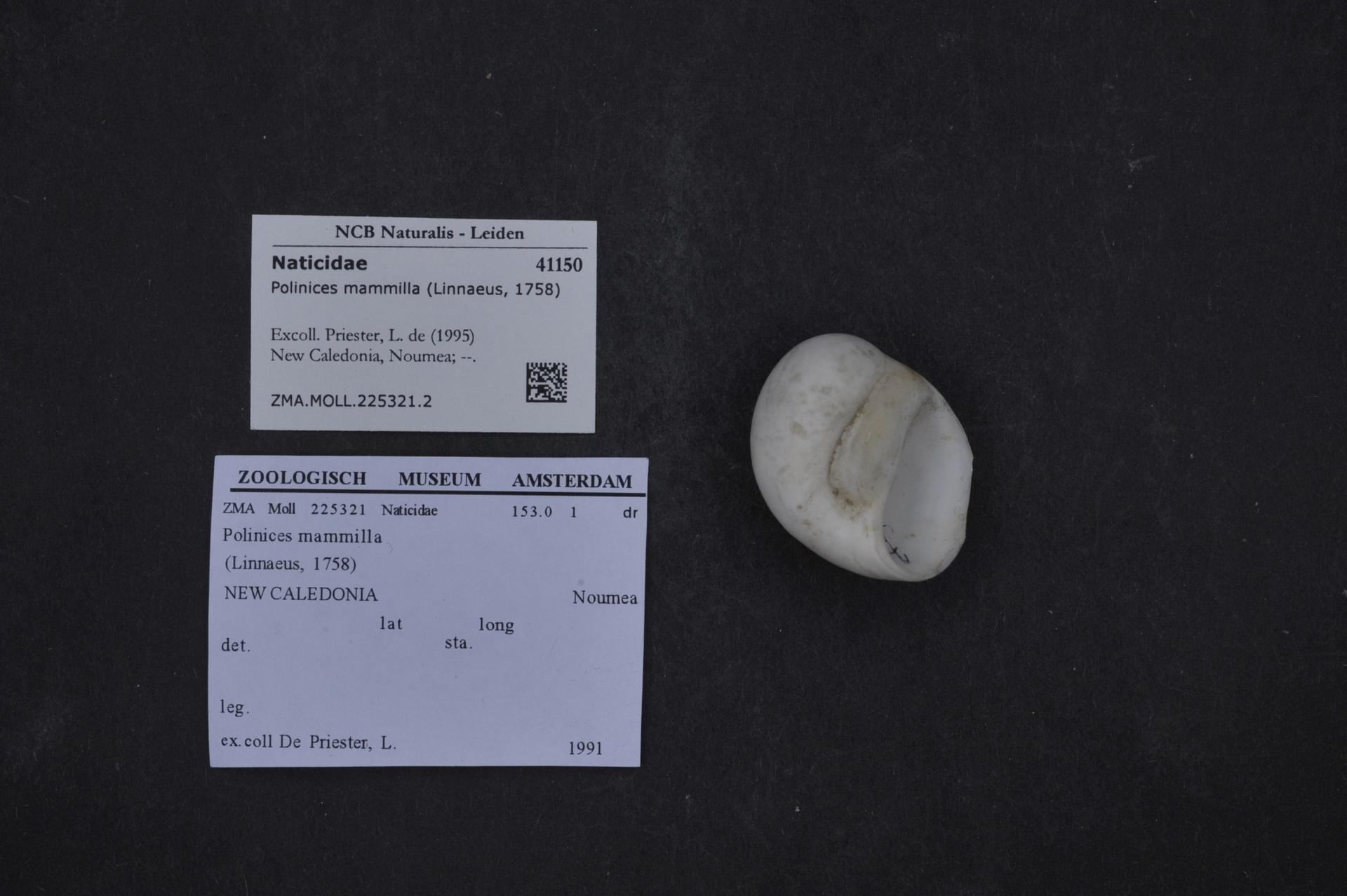 ZMA.MOLL.225321.2 | Polinices mammilla (Linnaeus, 1758)