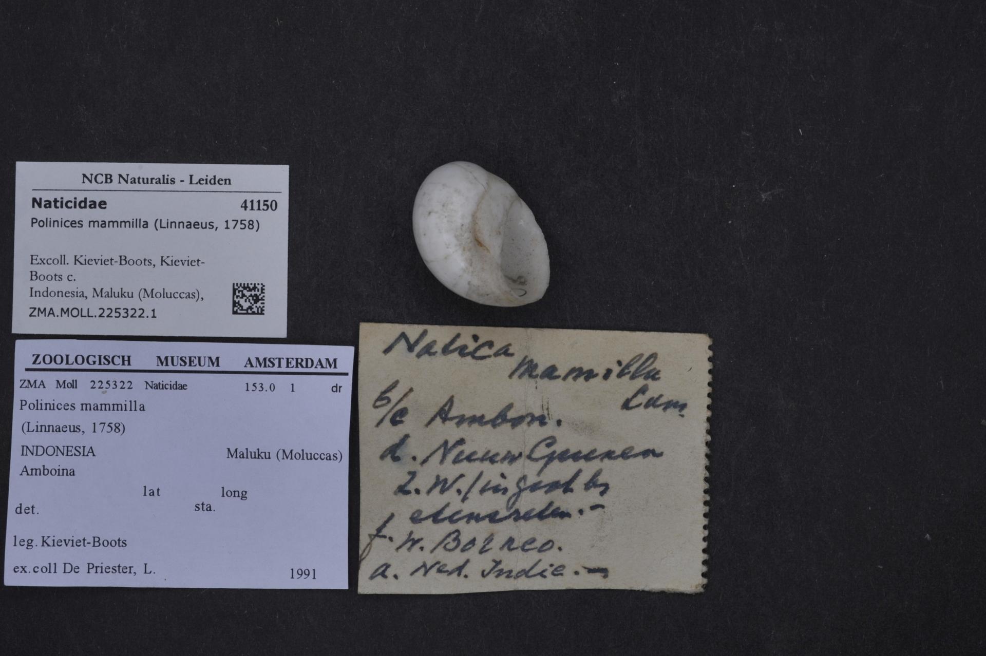 ZMA.MOLL.225322.1 | Polinices mammilla (Linnaeus, 1758)