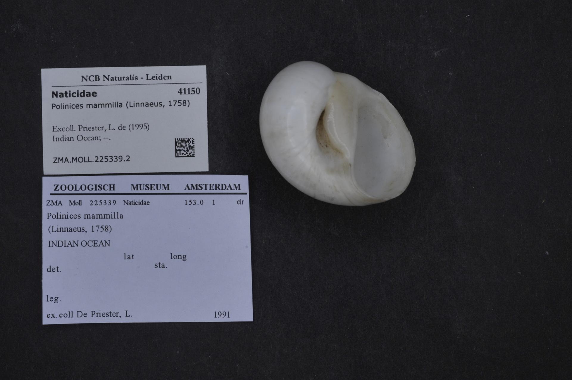 ZMA.MOLL.225339.2 | Polinices mammilla (Linnaeus, 1758)