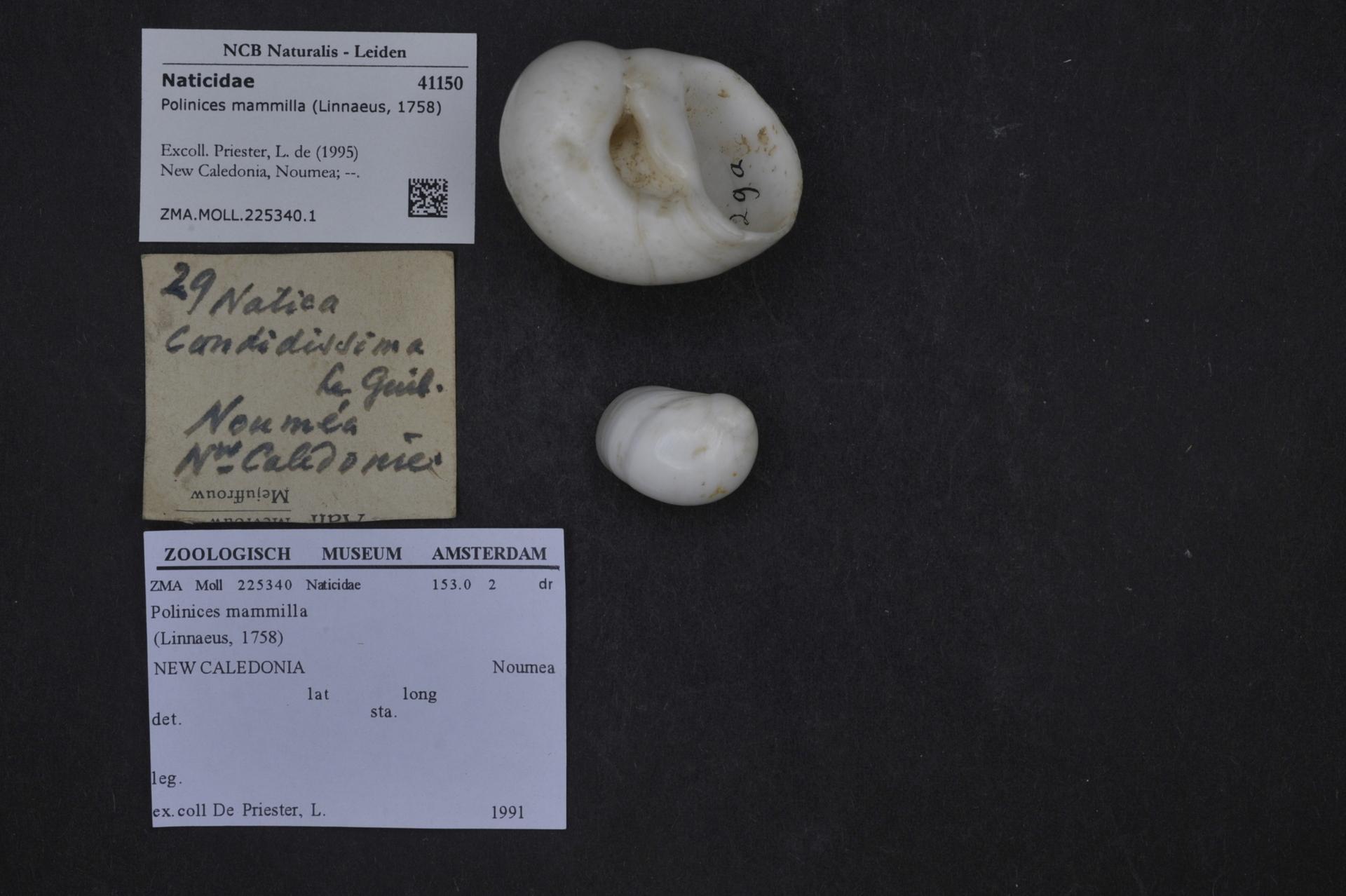 ZMA.MOLL.225340.1 | Polinices mammilla (Linnaeus, 1758)