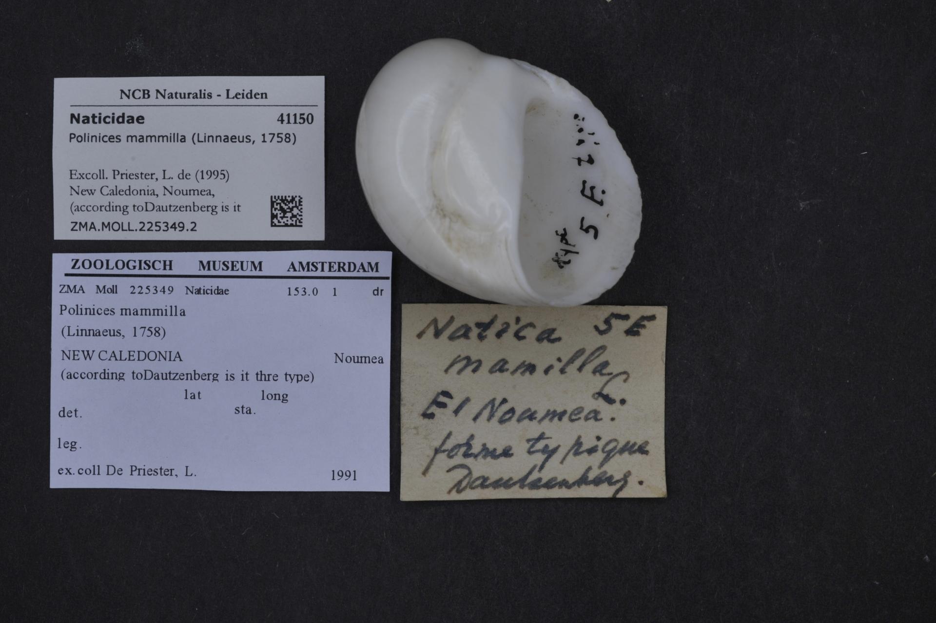 ZMA.MOLL.225349.2 | Polinices mammilla (Linnaeus, 1758)