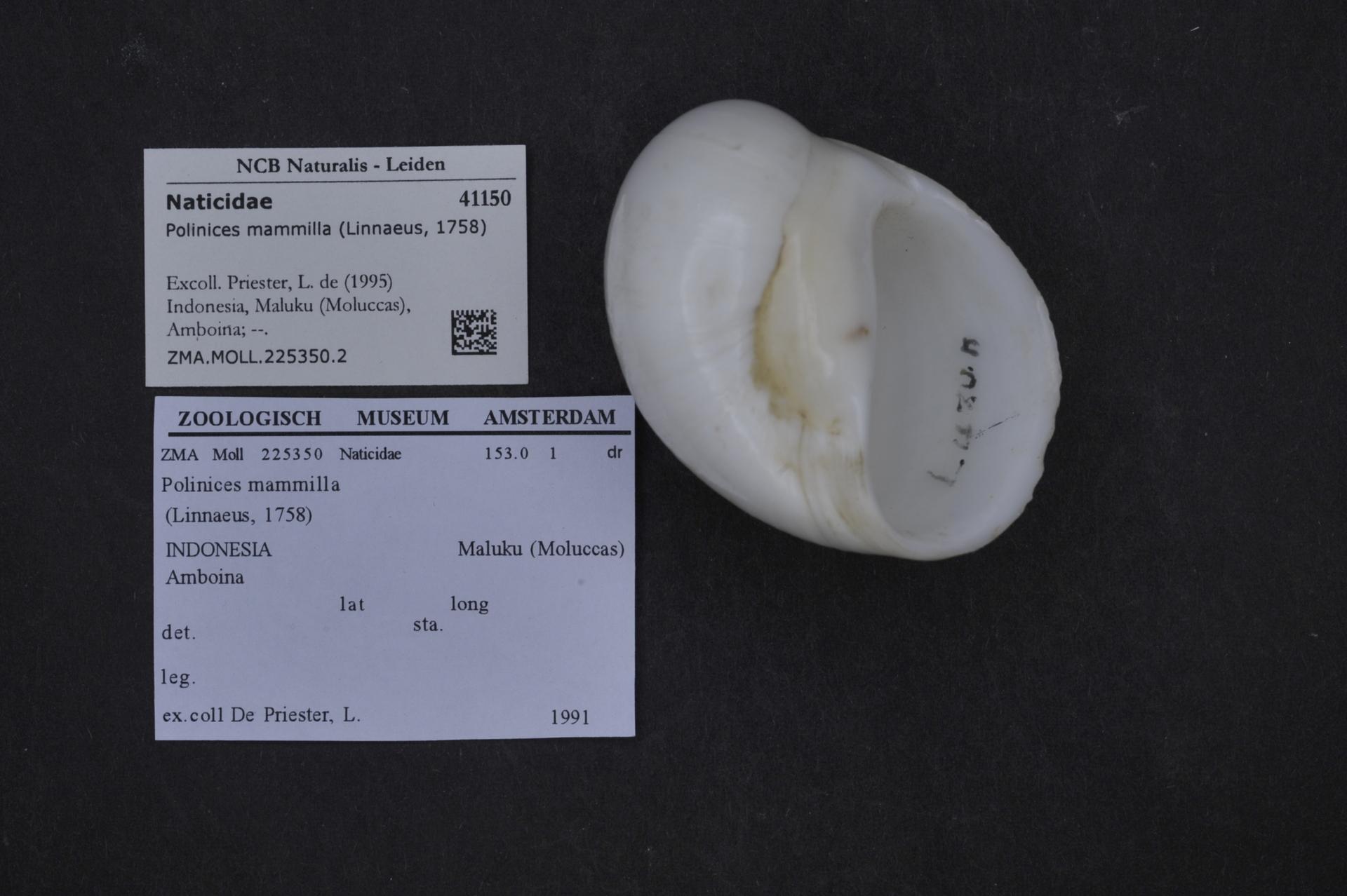 ZMA.MOLL.225350.2 | Polinices mammilla (Linnaeus, 1758)
