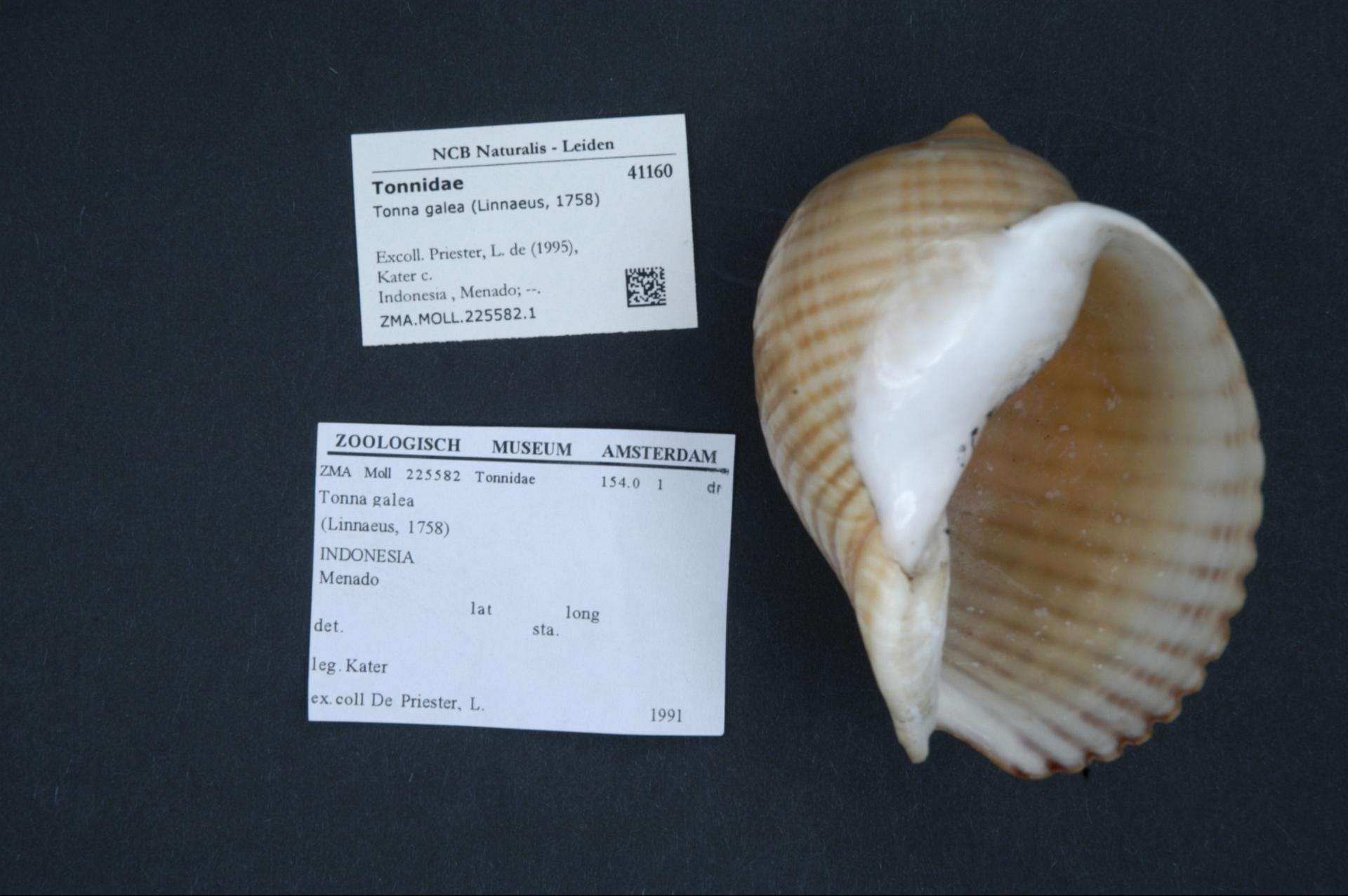 ZMA.MOLL.225582.1 | Tonna galea (Linnaeus, 1758)