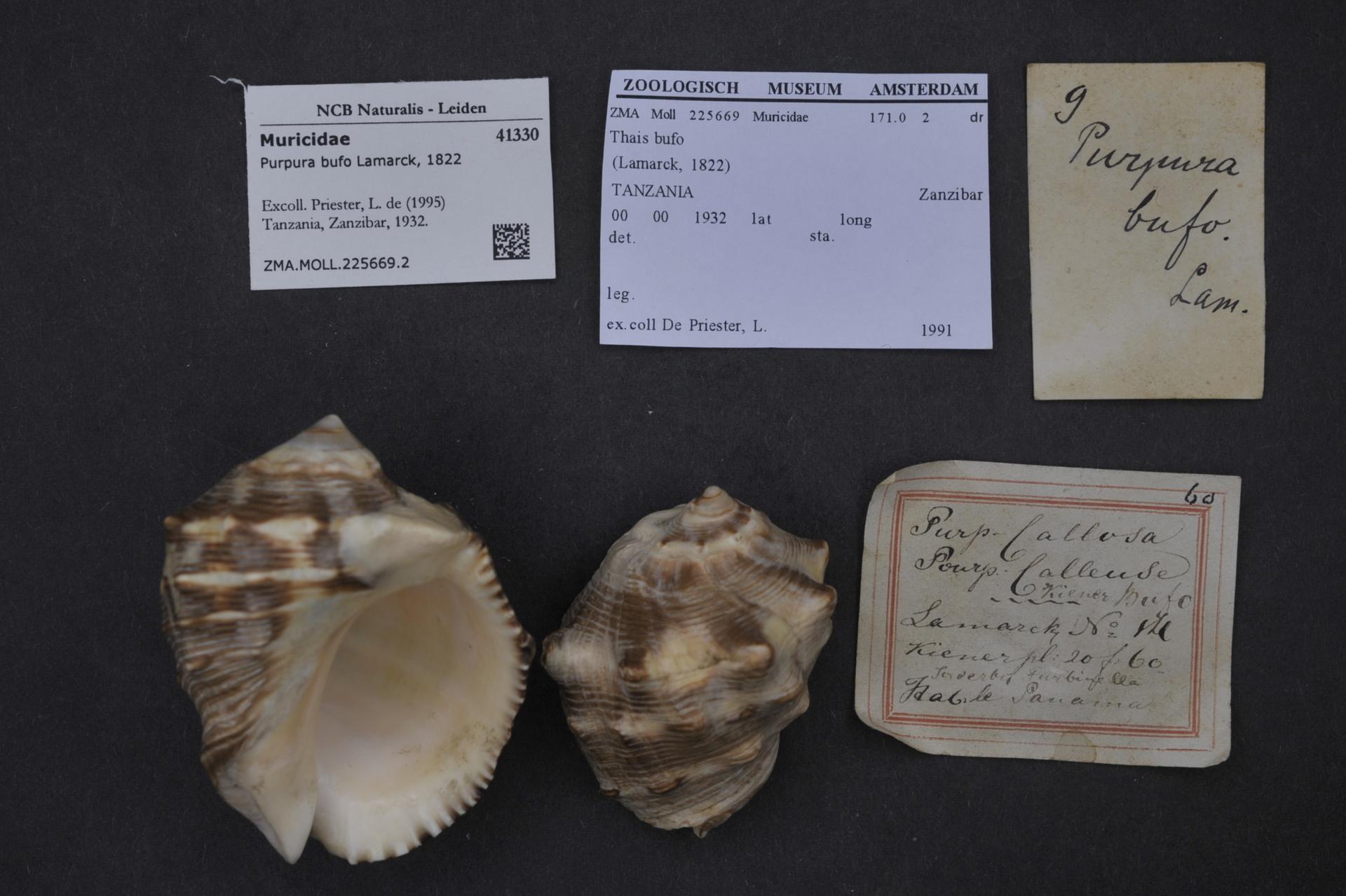 ZMA.MOLL.225669.2 | Purpura bufo Lamarck, 1822
