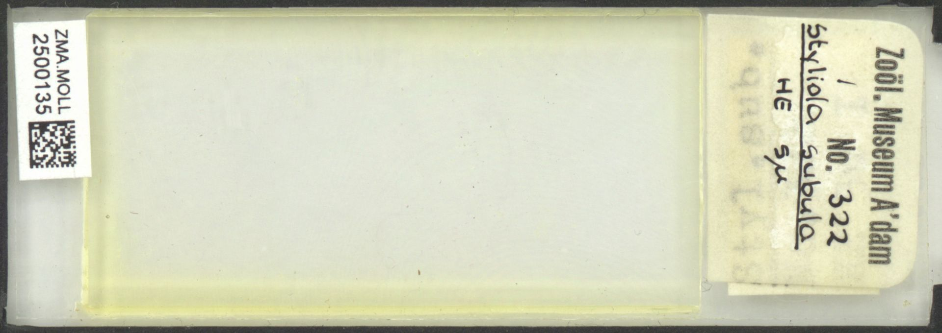 ZMA.MOLL.2500135 | Styliola subula (Quoy & Gaimard, 1827)