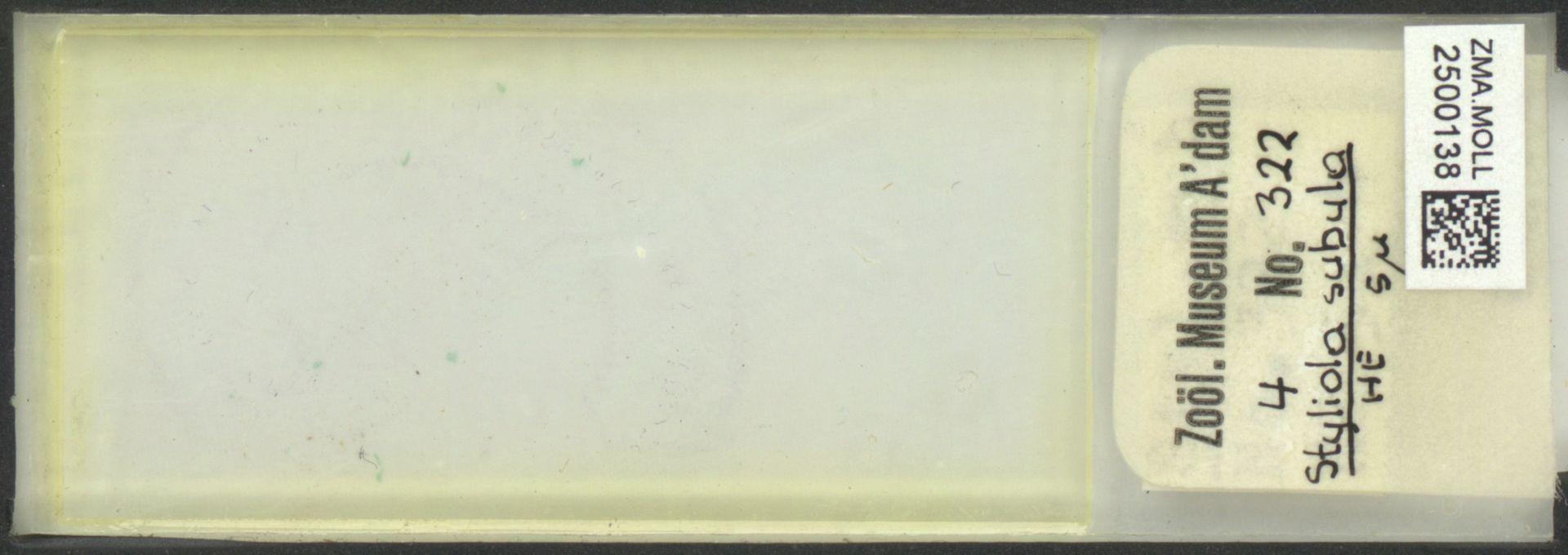 ZMA.MOLL.2500138 | Styliola subula (Quoy & Gaimard, 1827)
