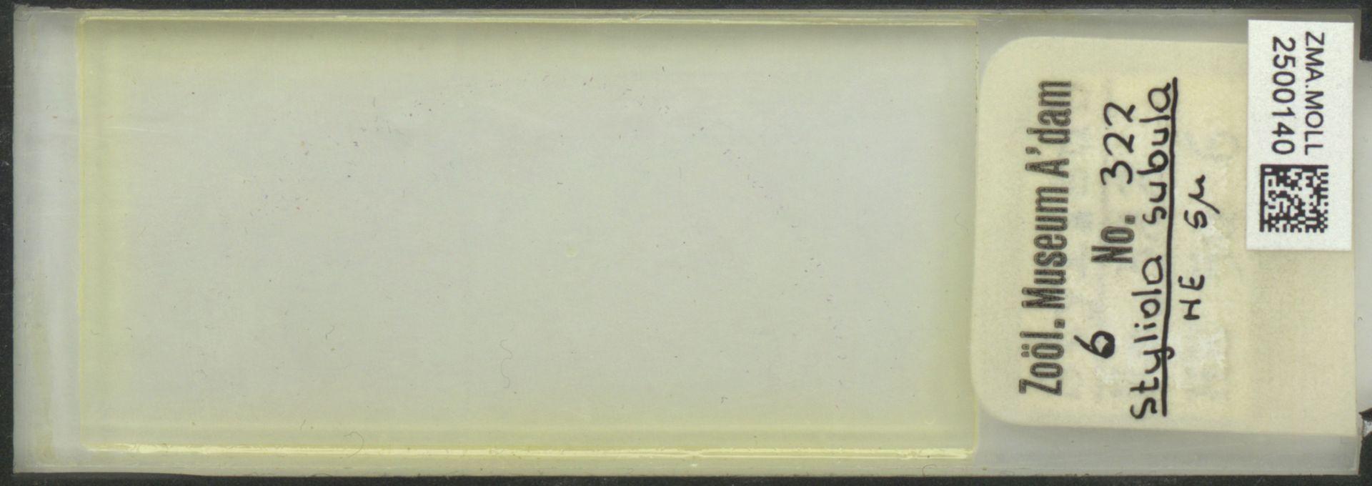 ZMA.MOLL.2500140 | Styliola subula (Quoy & Gaimard, 1827)