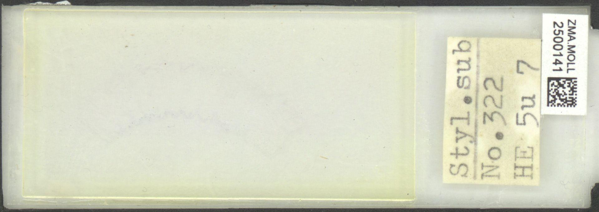 ZMA.MOLL.2500141 | Styliola subula (Quoy & Gaimard, 1827)