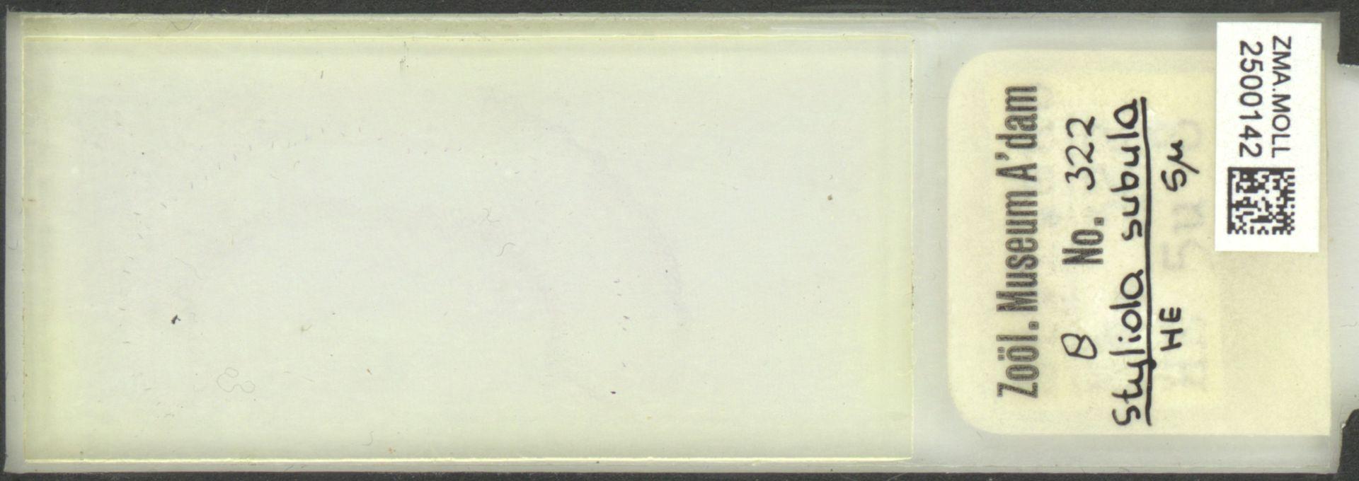 ZMA.MOLL.2500142 | Styliola subula (Quoy & Gaimard, 1827)