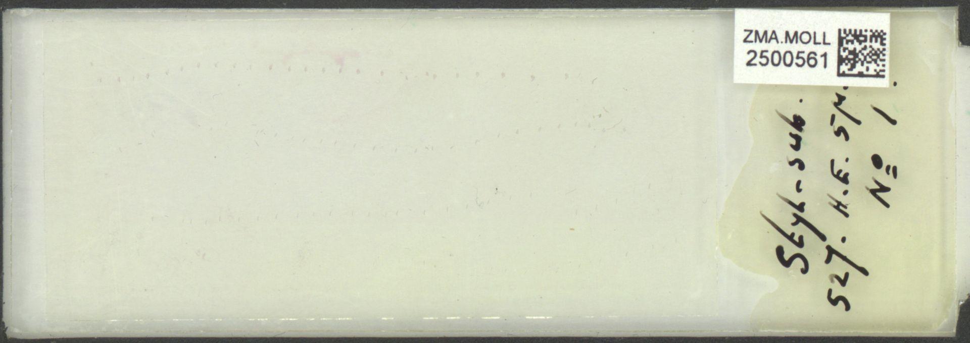 ZMA.MOLL.2500561 | Styliola subula (Quoy & Gaimard, 1827)