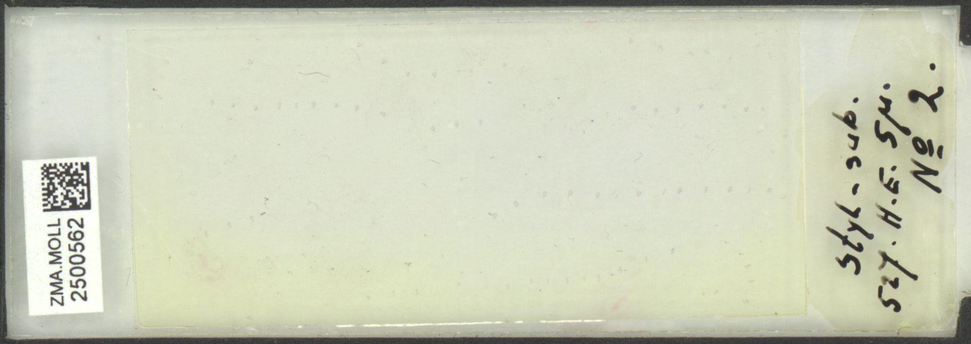 ZMA.MOLL.2500562 | Styliola subula (Quoy & Gaimard, 1827)