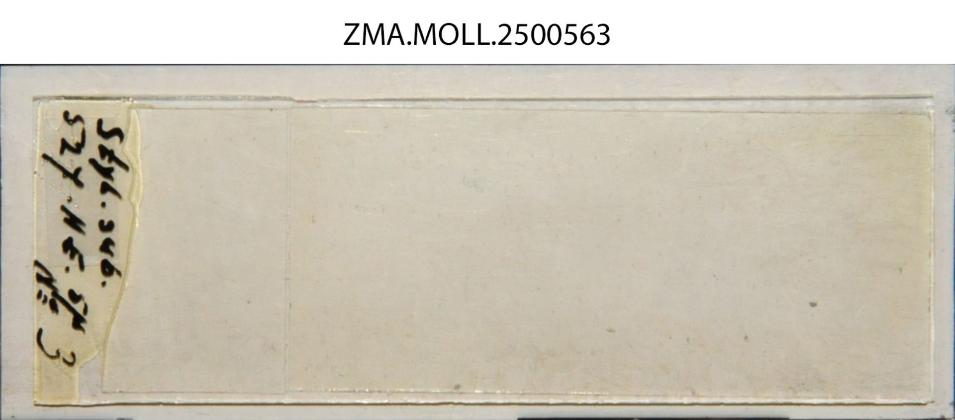 ZMA.MOLL.2500563 | Styliola subula (Quoy & Gaimard, 1827)