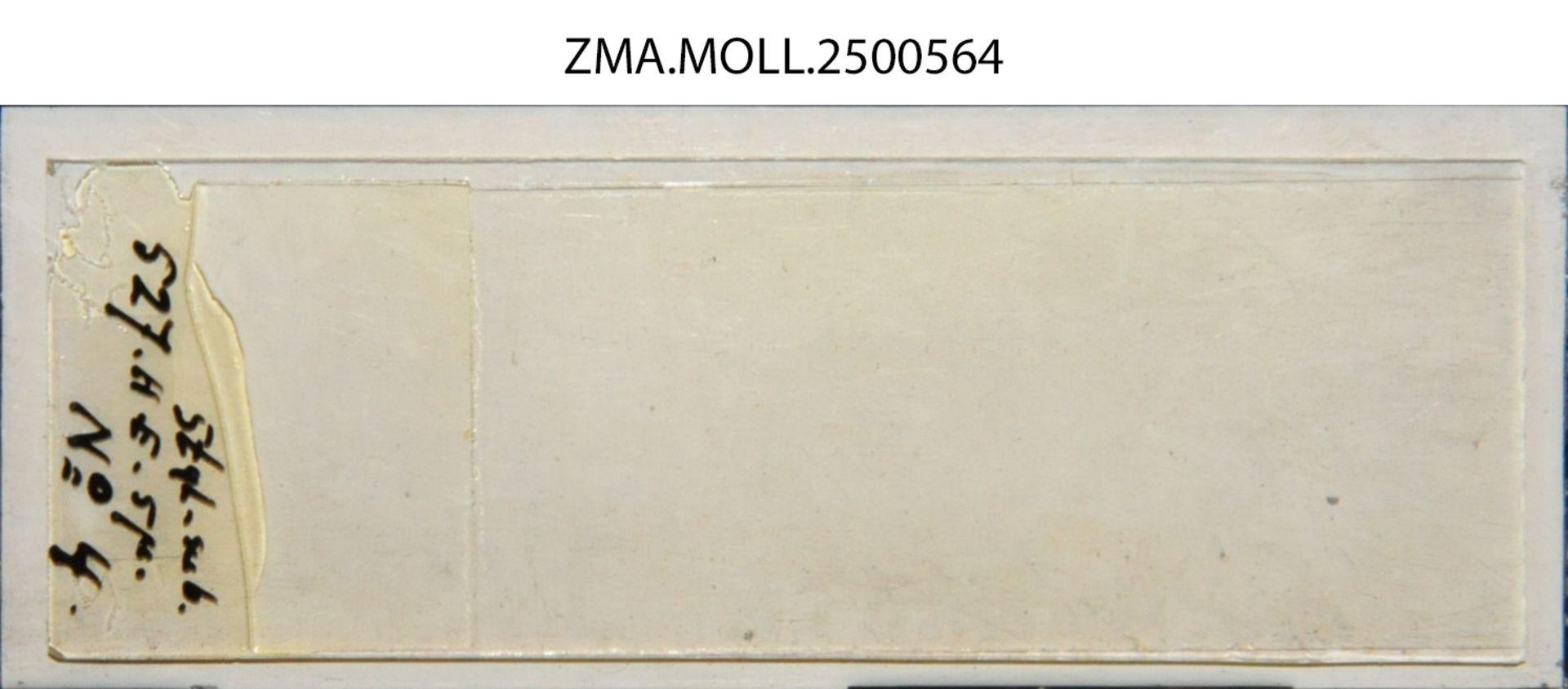 ZMA.MOLL.2500564 | Styliola subula (Quoy & Gaimard, 1827)
