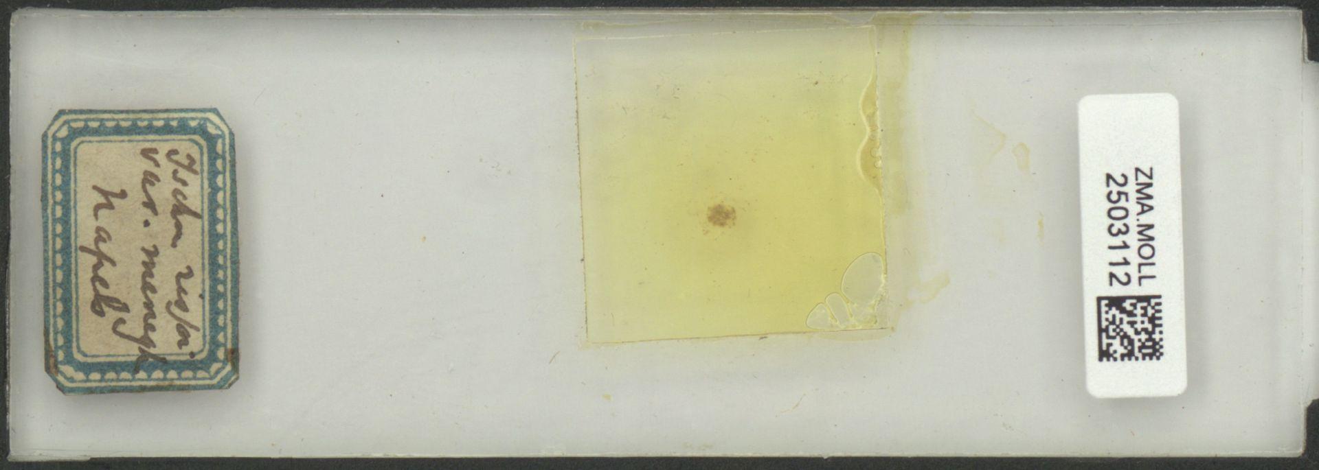 ZMA.MOLL.2503112   Ischnochiton rissoi (Payraudeau, 1826)