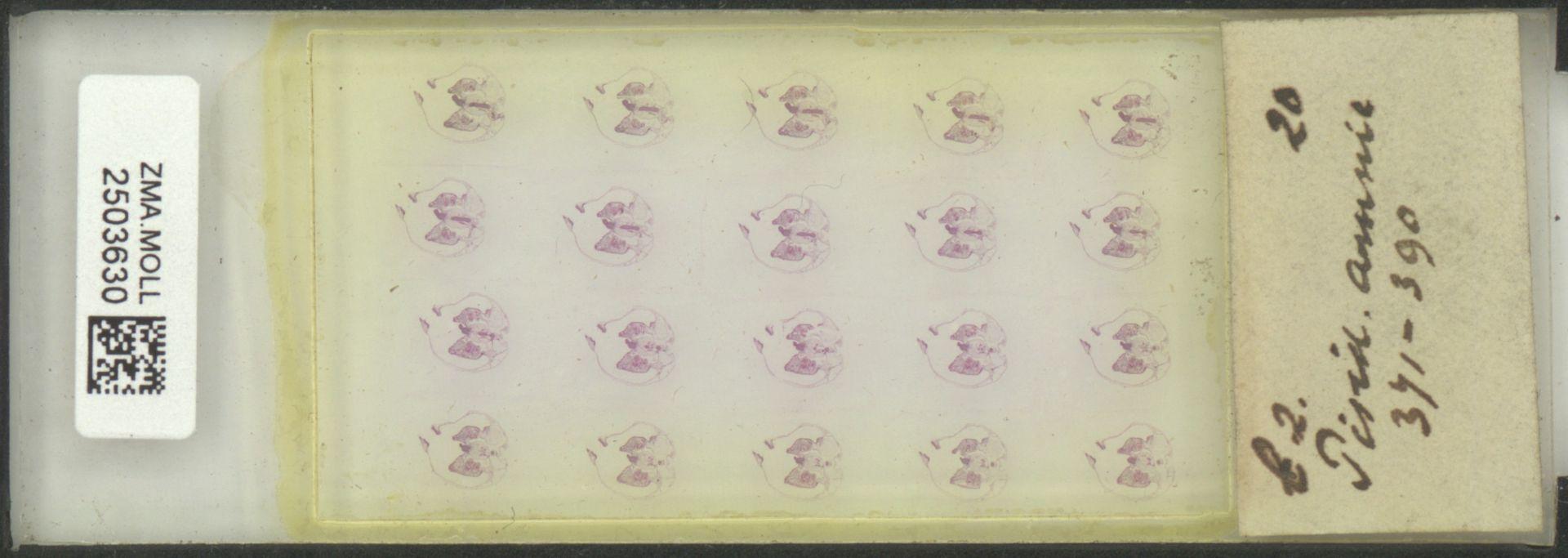 ZMA.MOLL.2503630 | Pisidium (Pisidium) amnicum (Müller, 1774)