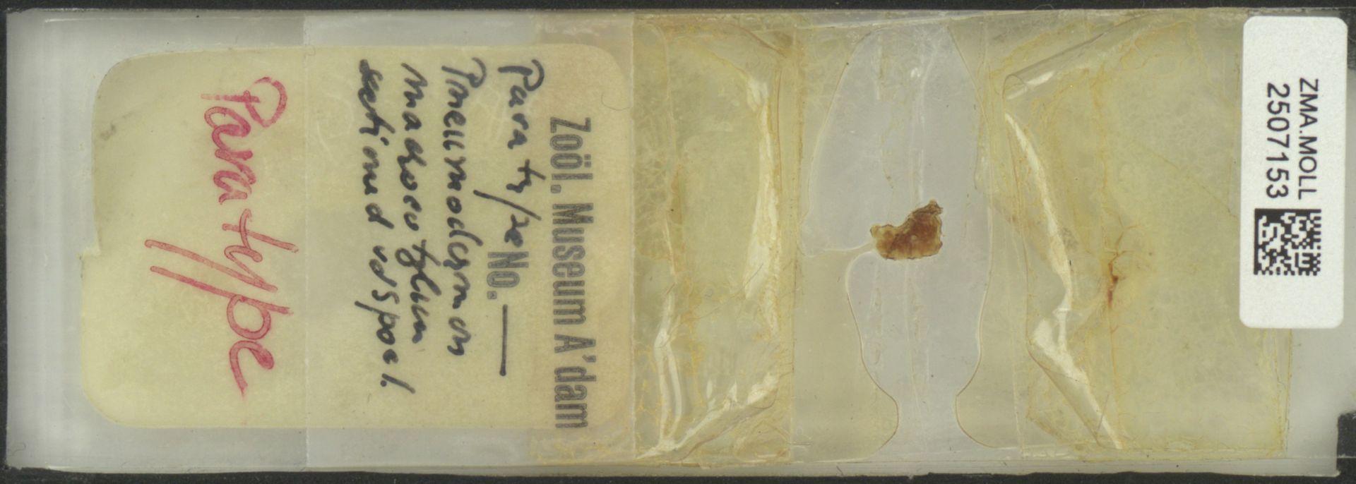ZMA.MOLL.2507153 | Pneumoderma mediterraneum Van Beneden, 1838