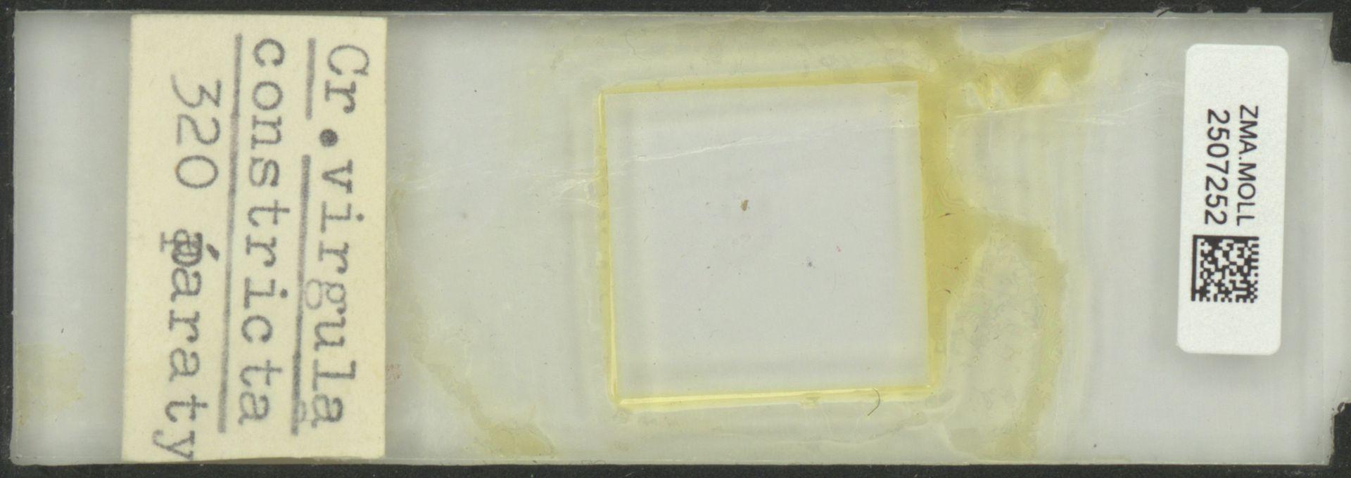 ZMA.MOLL.2507252   Creseis virgula constricta Chen & Bé, 1964