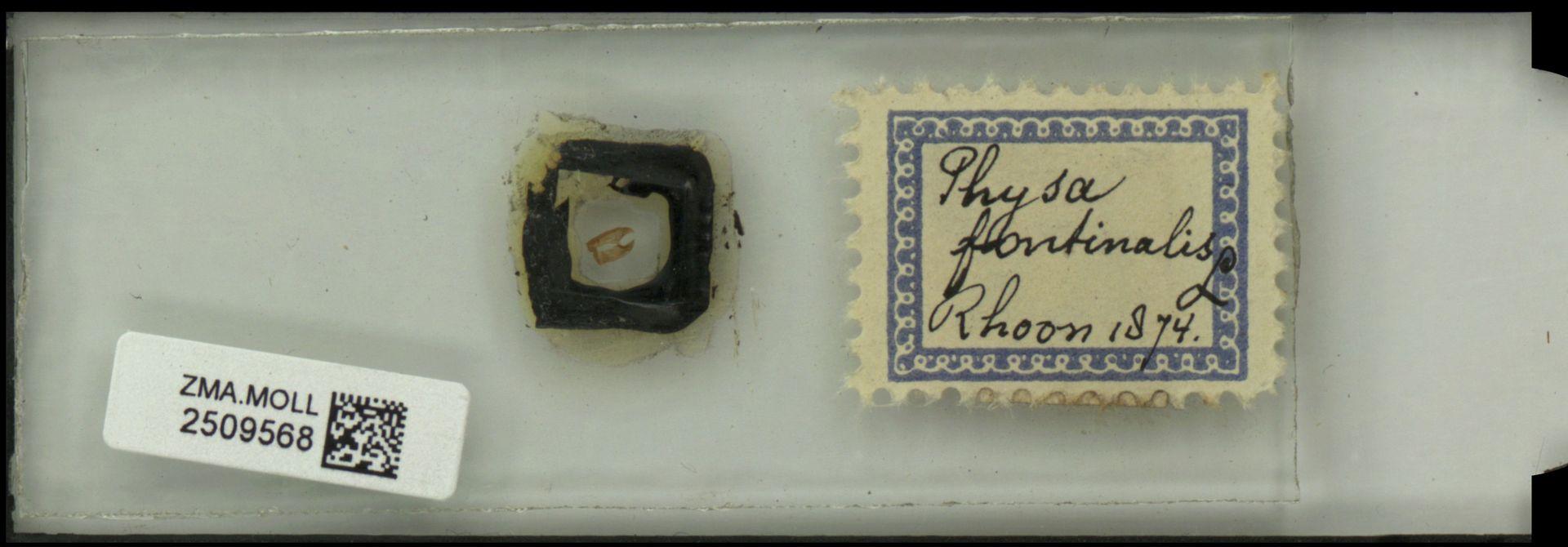 ZMA.MOLL.2509568 | Physa fontinalis Linnaeus, 1758